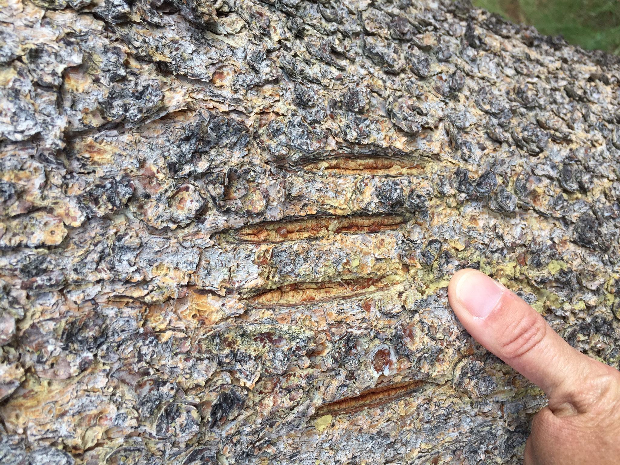 Les traces laissées par les êtres vivants permettent d'appréhender la biodiversité ( griffes de grizzly, Grand Teton, USA)