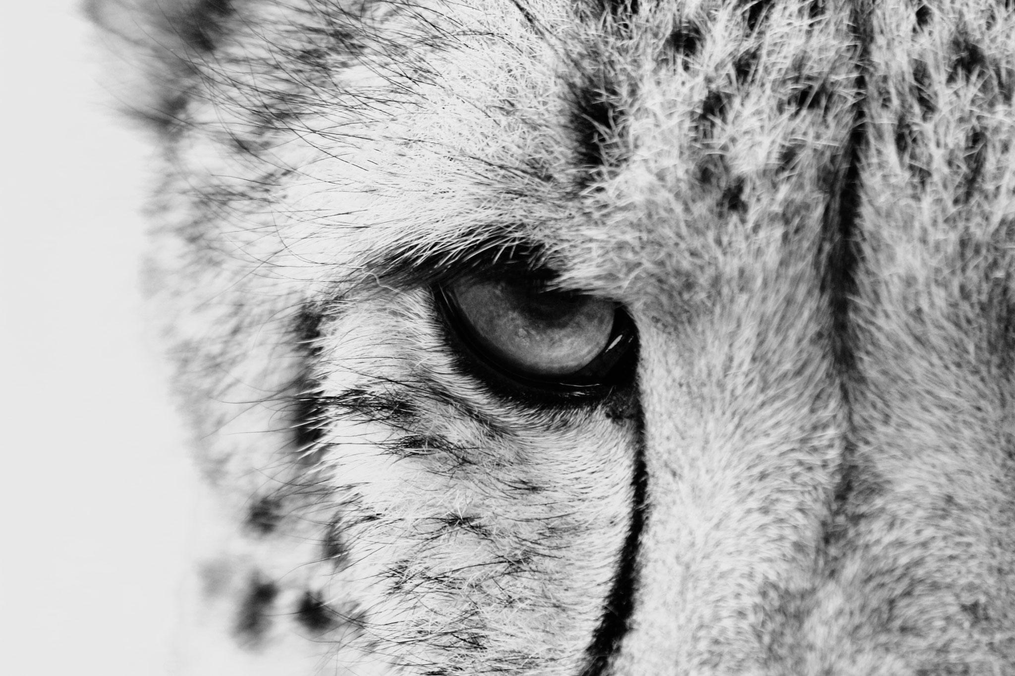 Cheetah focus