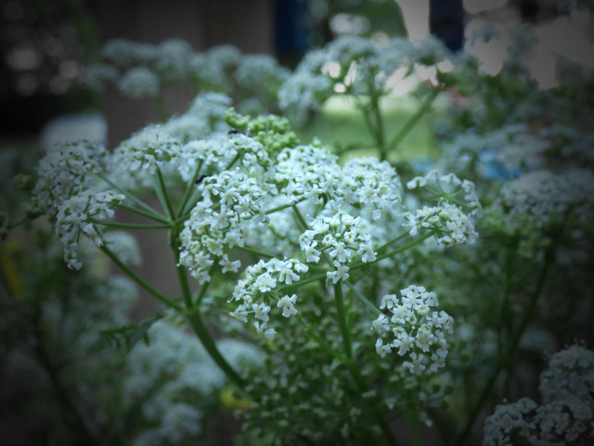 Die Wilde Möhre steht oft unbeachtet am Wegesrand, dabei ist sie vor allem getrocknet ein echtes Highlight, denn dann sieht die Blüte aus wie ein kleiner Blumenstrauß.