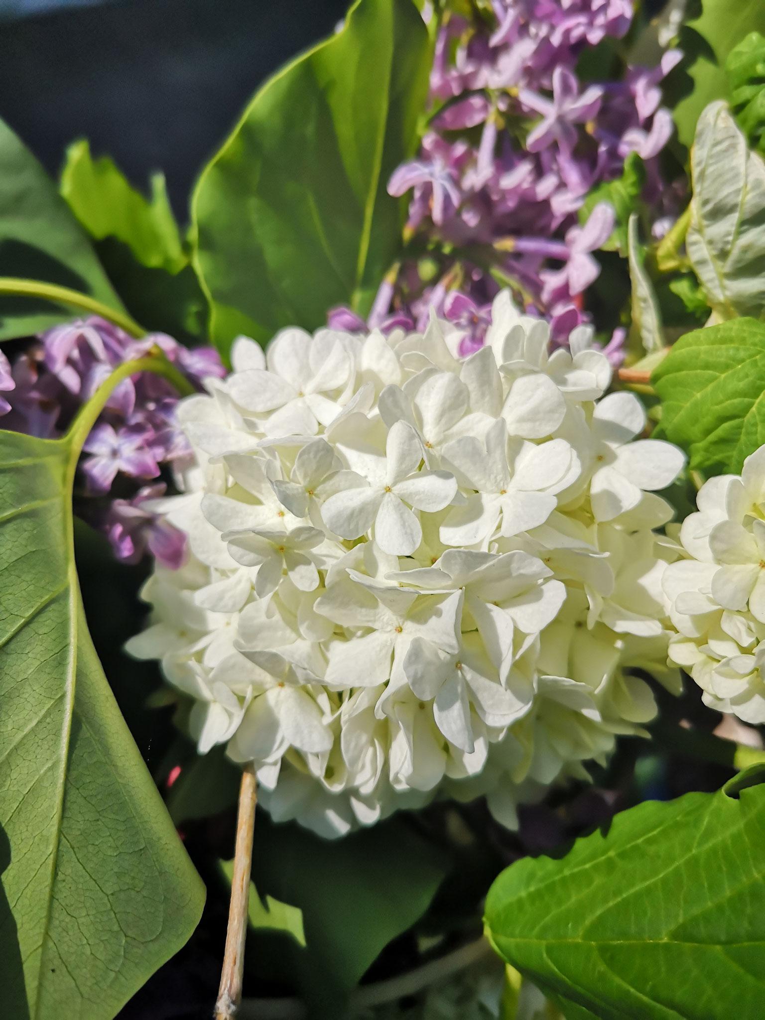 Die Hortensie steht für die Bewunderung der Schönheit der Frau, verständlich, bei den imposanten Blüten.Nicht nur im Garten, sondern auch als Schmuckstück ziehen die Hortensien ihren Blick auf sich.