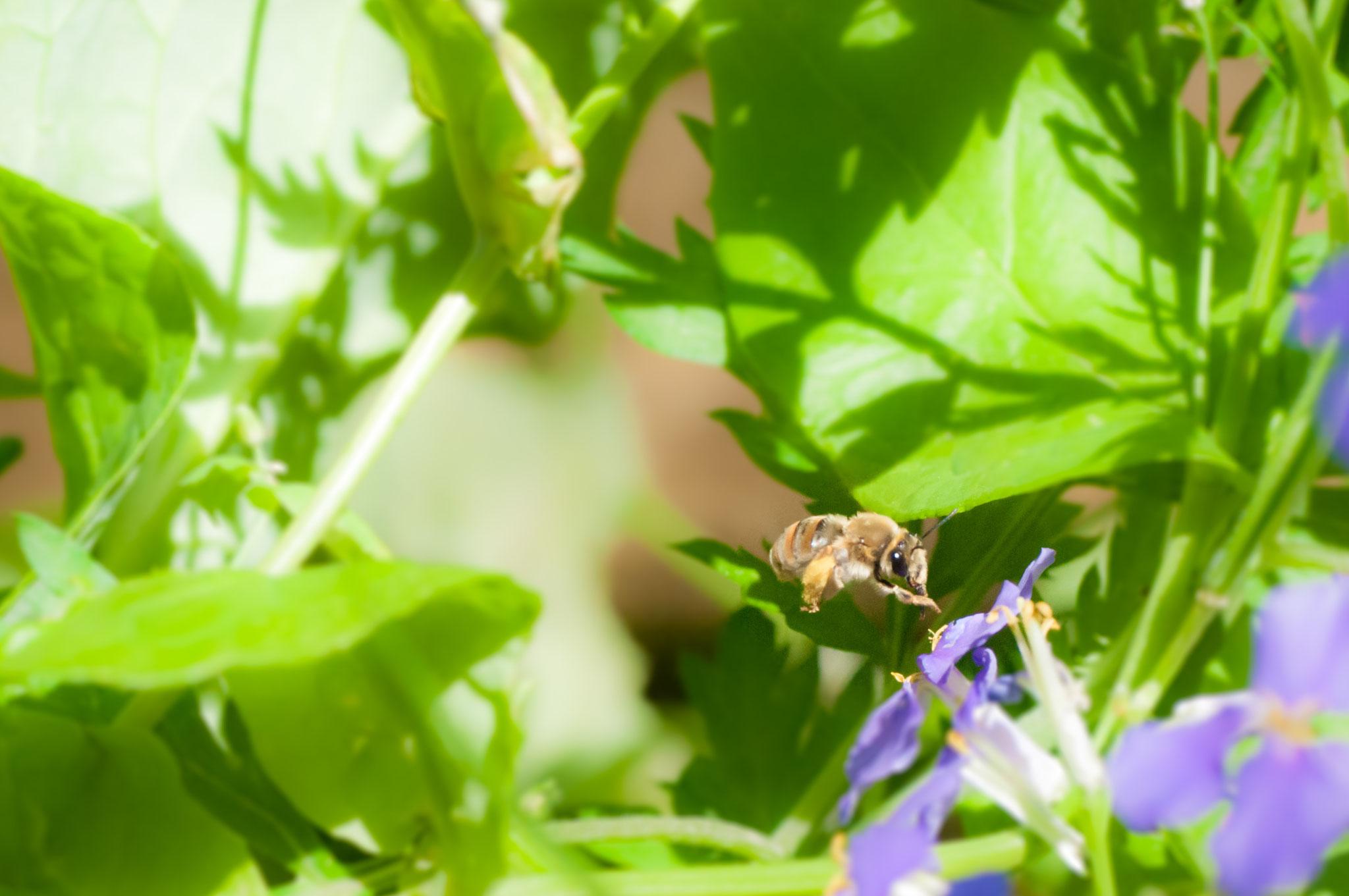 手持ちでミツバチを激写。昆虫界はどこもブラックで休日はないのか?