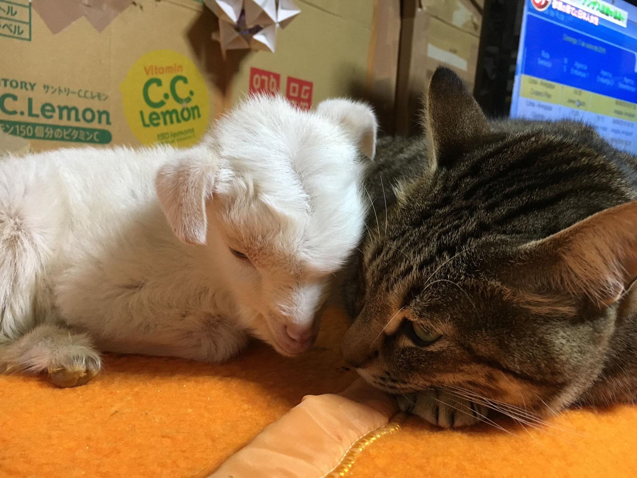 寒い時期には、仔山羊と猫の添い寝が見られます。