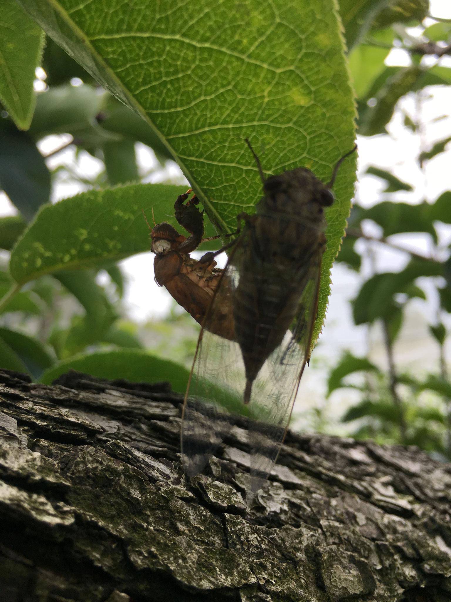 蝉の羽化。この辺はアブラゼミとツクツクボウシが多いです。