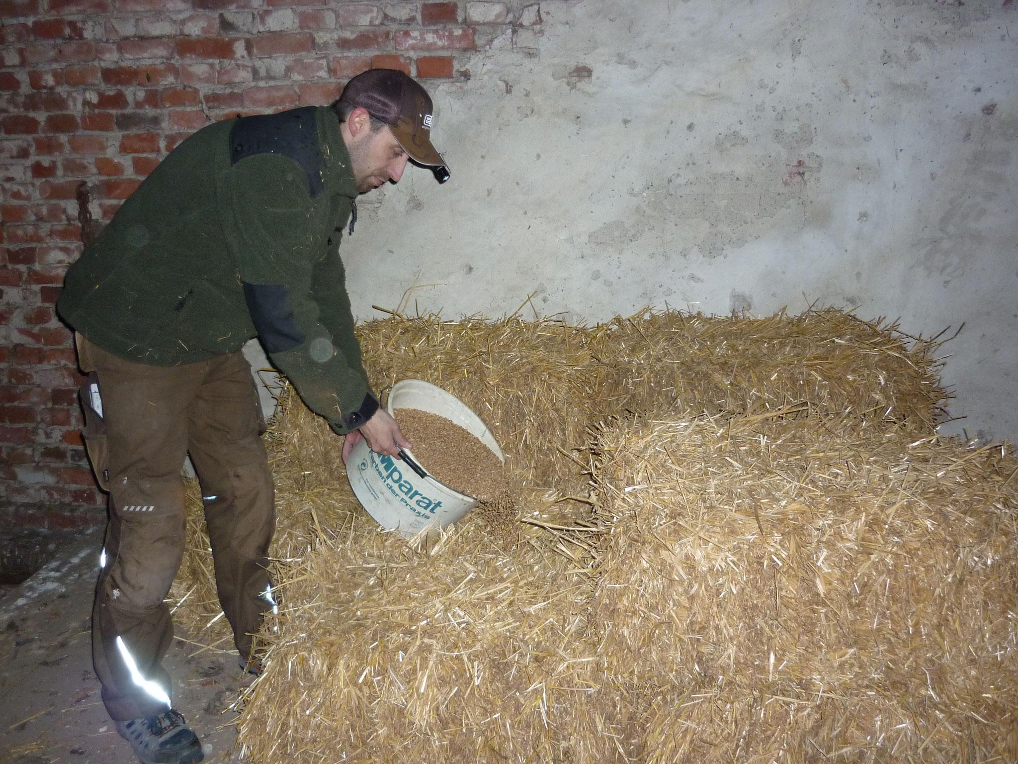 Zusätzlich wurde auf dem Dachboden an zwei Stellen Strohballen aufgestappeltund mit einem Eimer Weizen befüllt, um eine Mäuseburg anzulegen. Zusätzliche Nahrrung für die Schleiereulen.