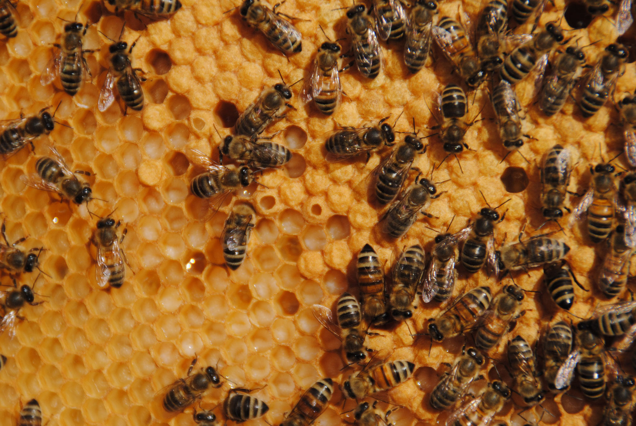 Eine Wabe mit offener Brut. Das weise sind Bienenlarfen.