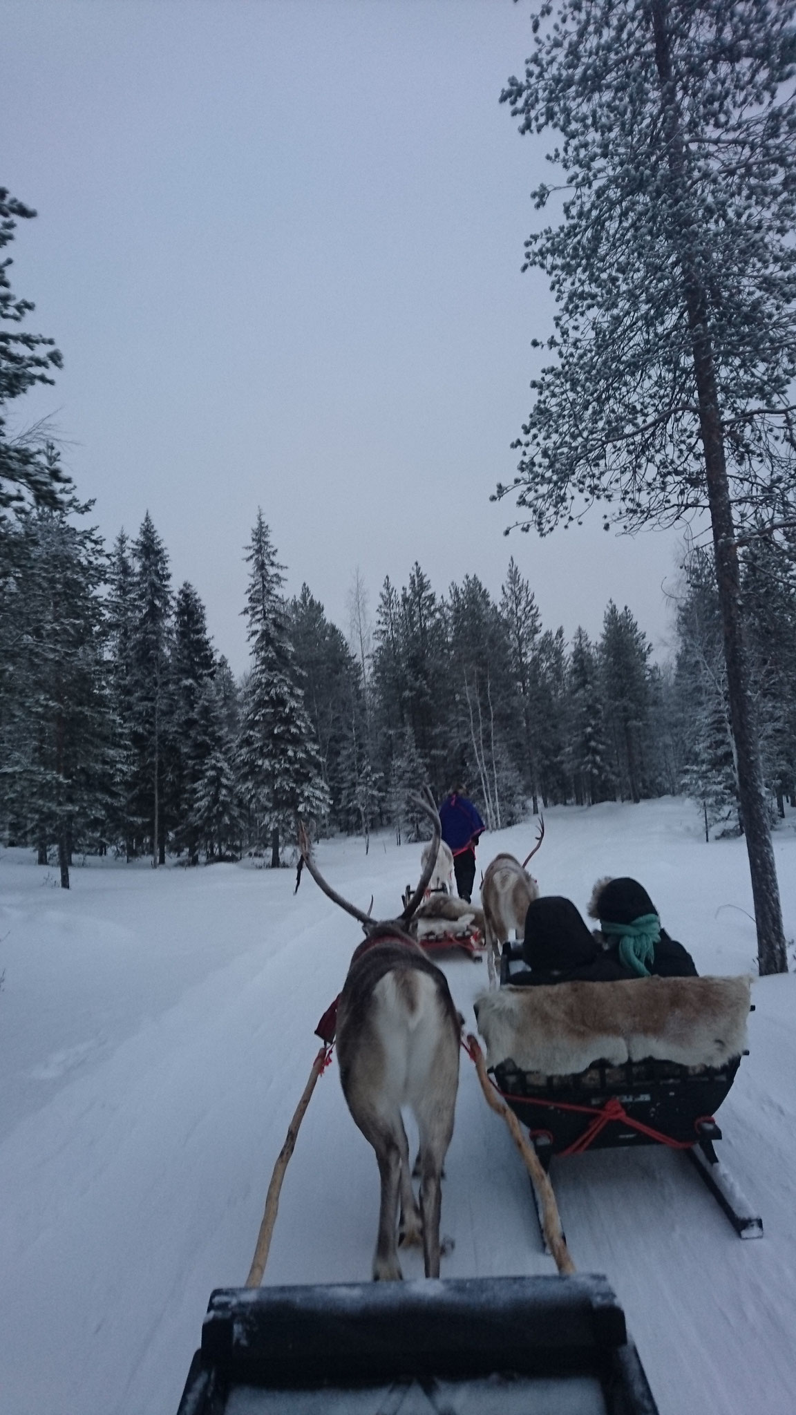 Quiet morning reindeer sled ride...
