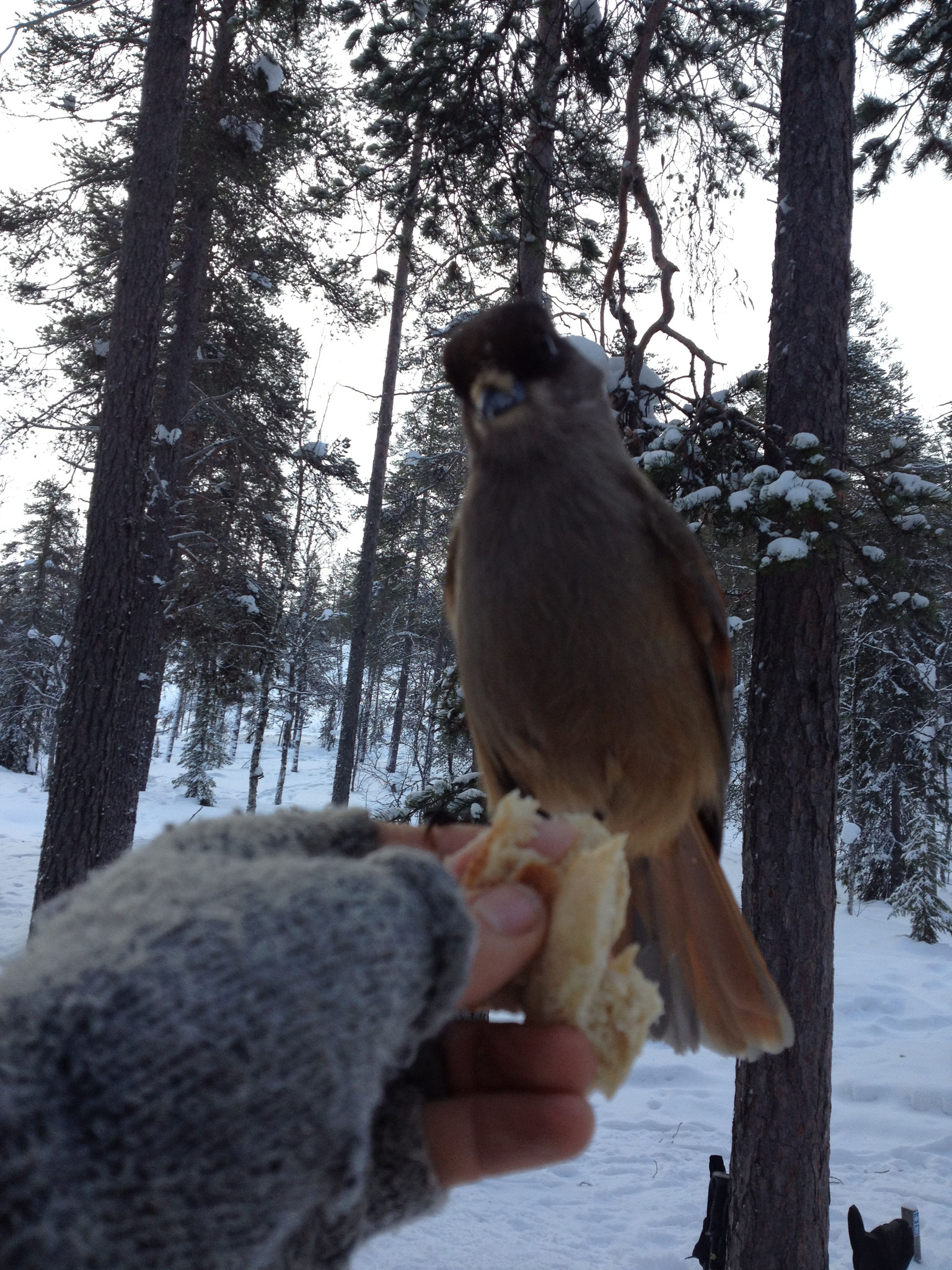 Siberian jay, this bird is called kuukkeli in Finnish : the lucky bird of Lapland.