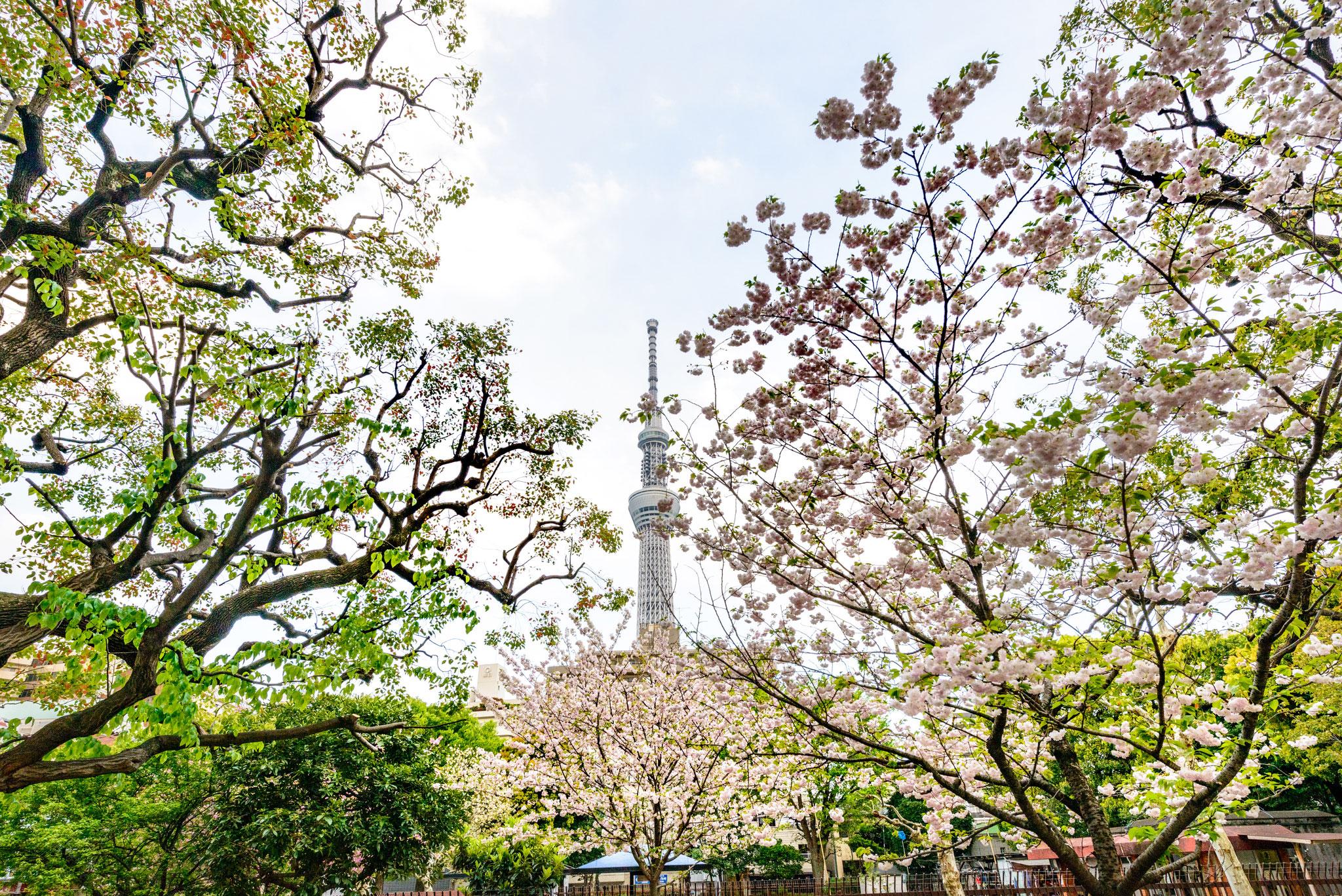 墨田公園からみる東京スカイツリー
