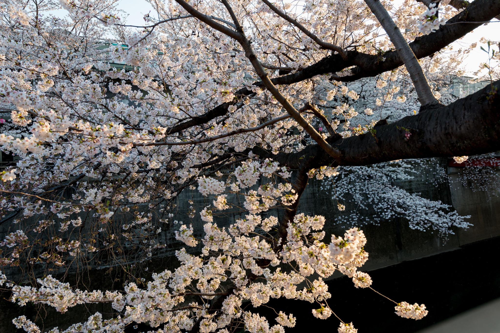 「石神井川の桜並木」5