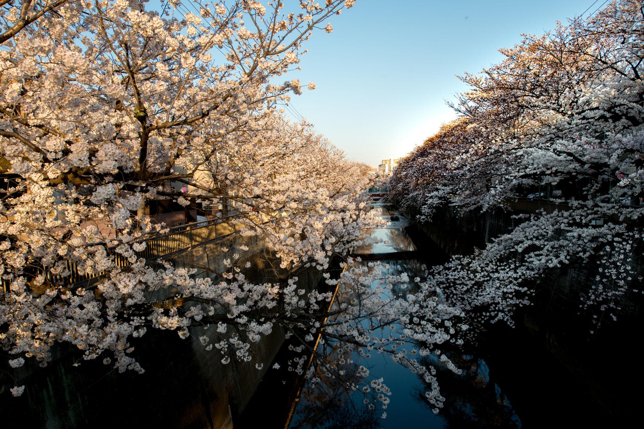 「石神井川の桜並木」1