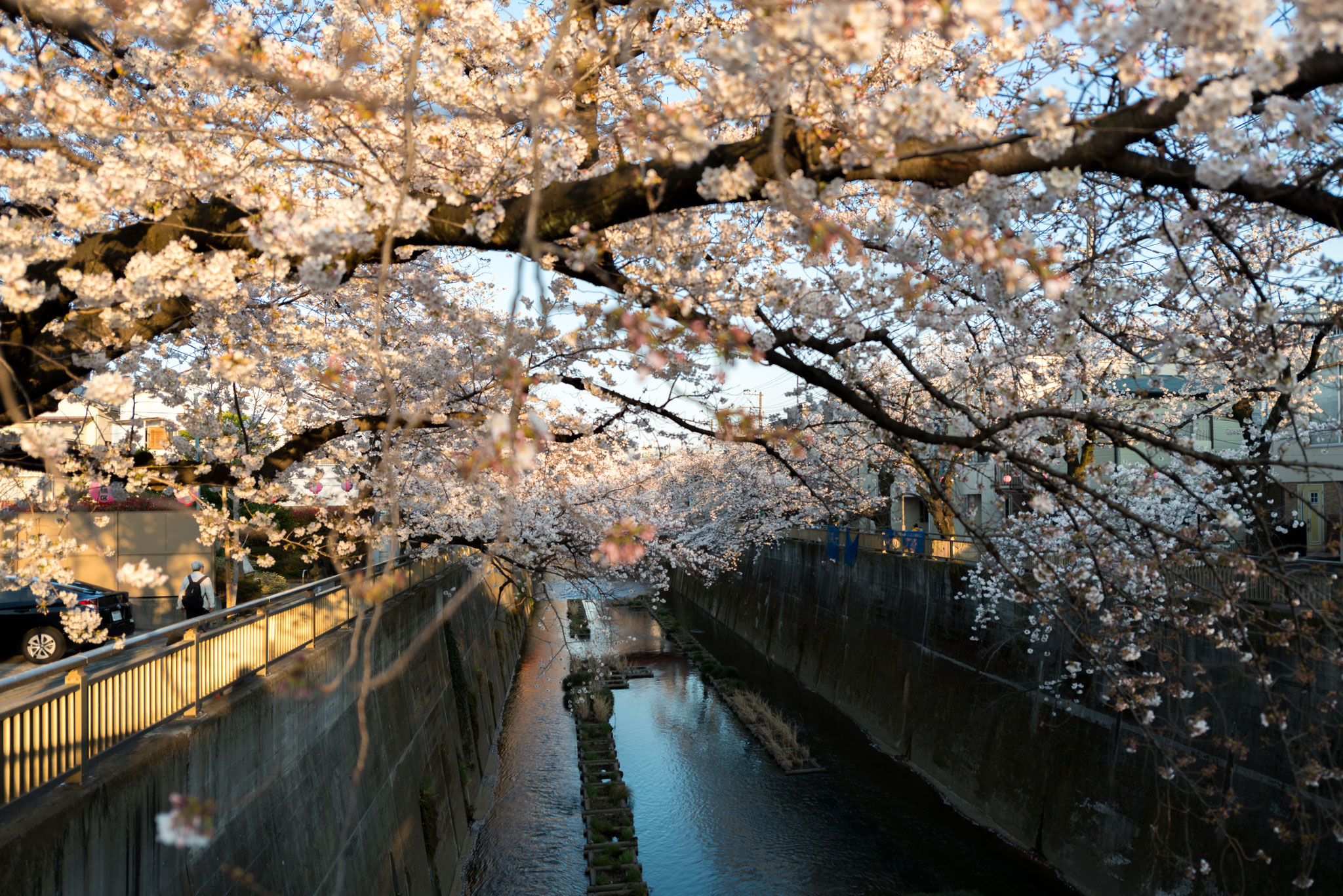 桜満開(石神井川の桜並木)4