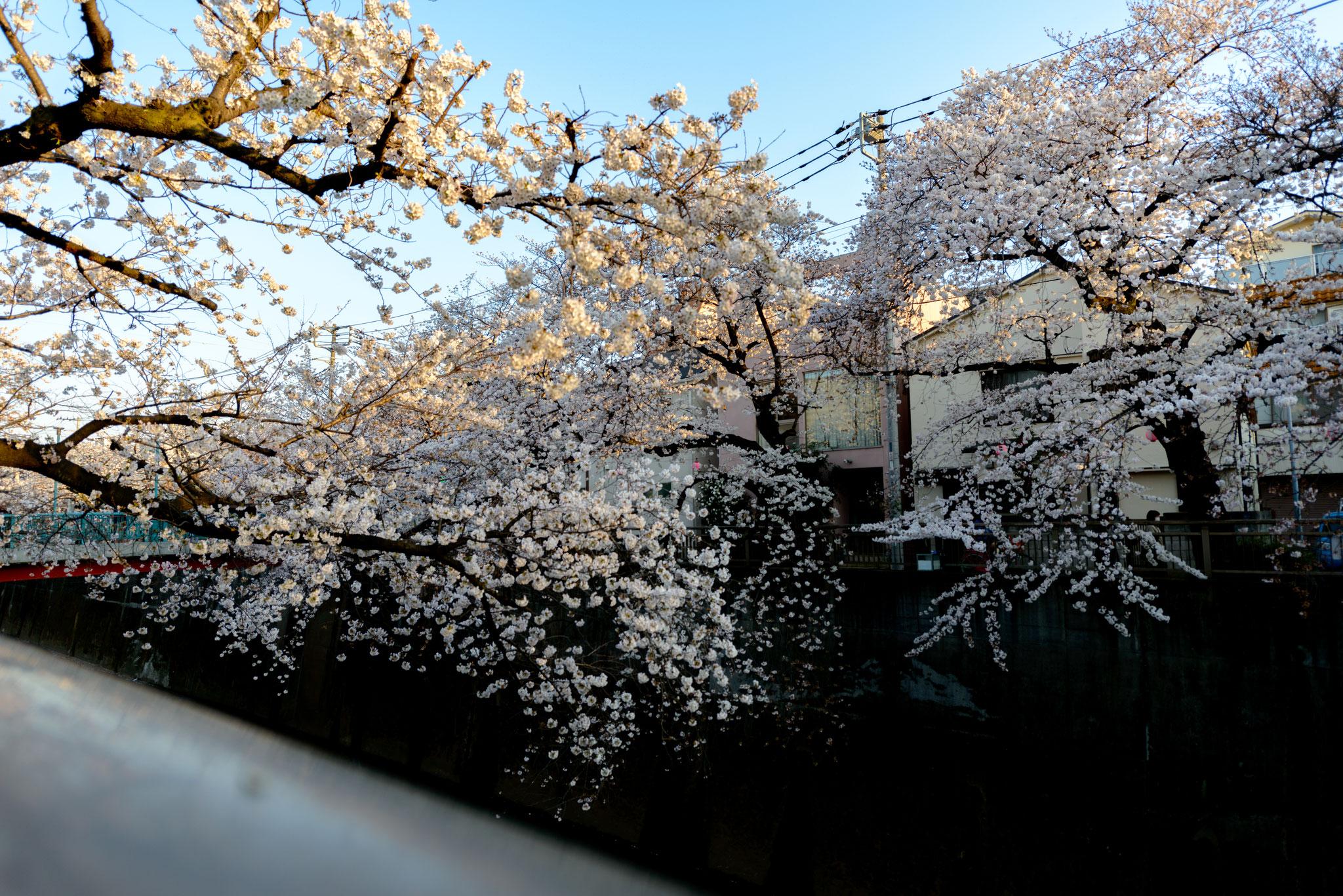 「石神井川の桜並木」6