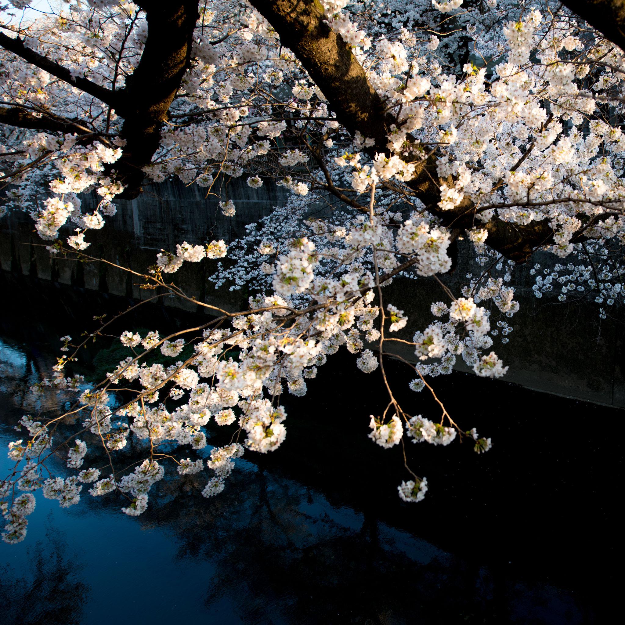 「石神井川の桜並木」3