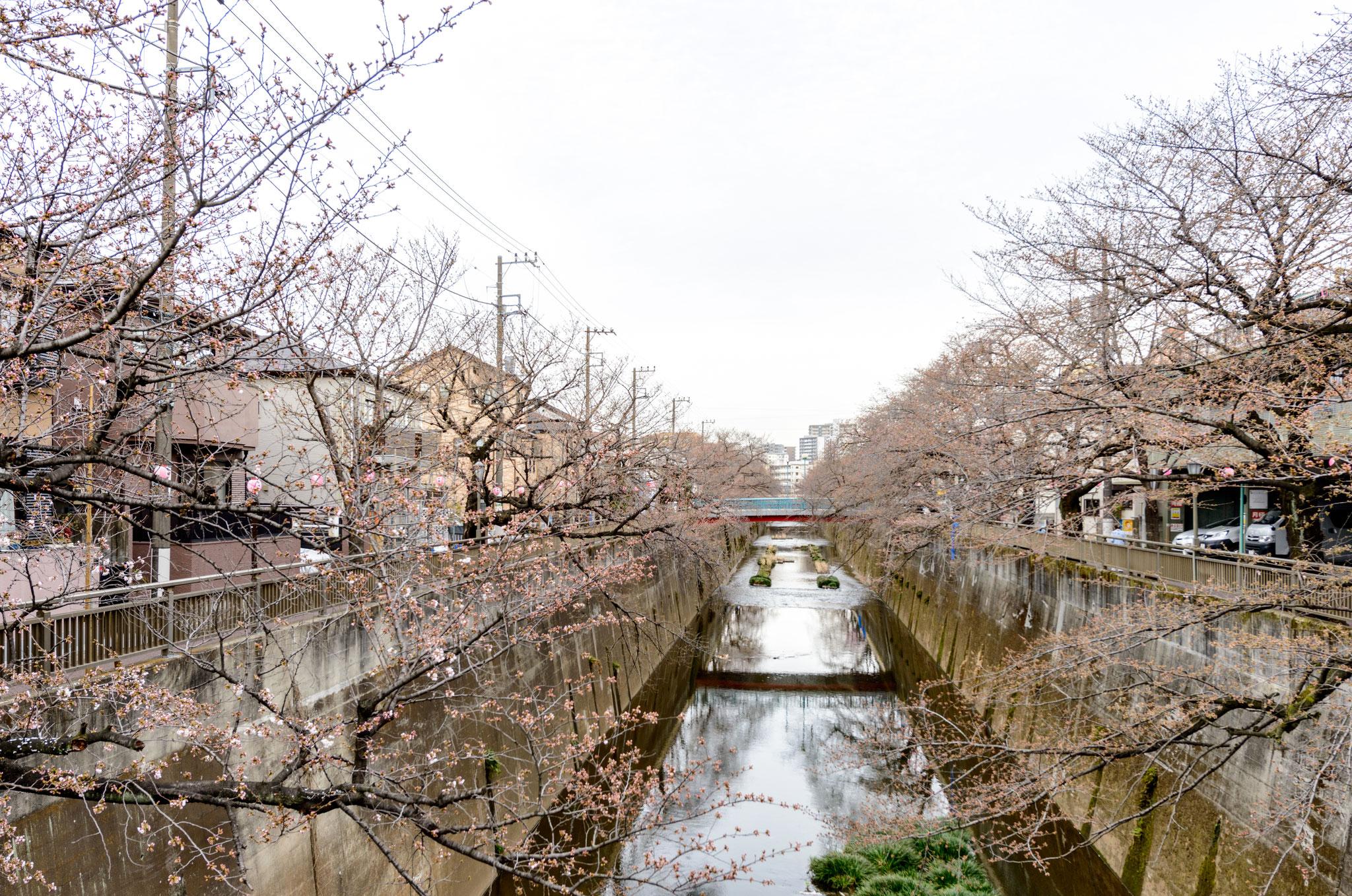 現地近隣4「石神井川の桜並木」