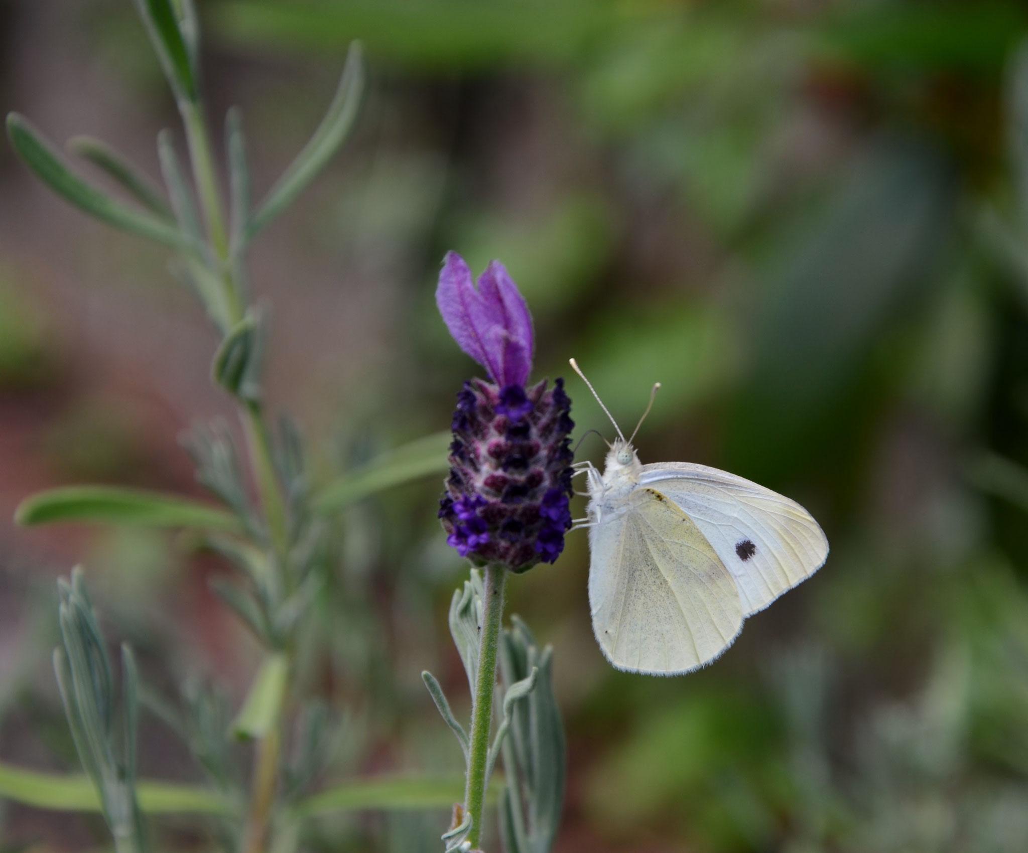 Kleiner Kohl-Weißling an Lavendelblüte