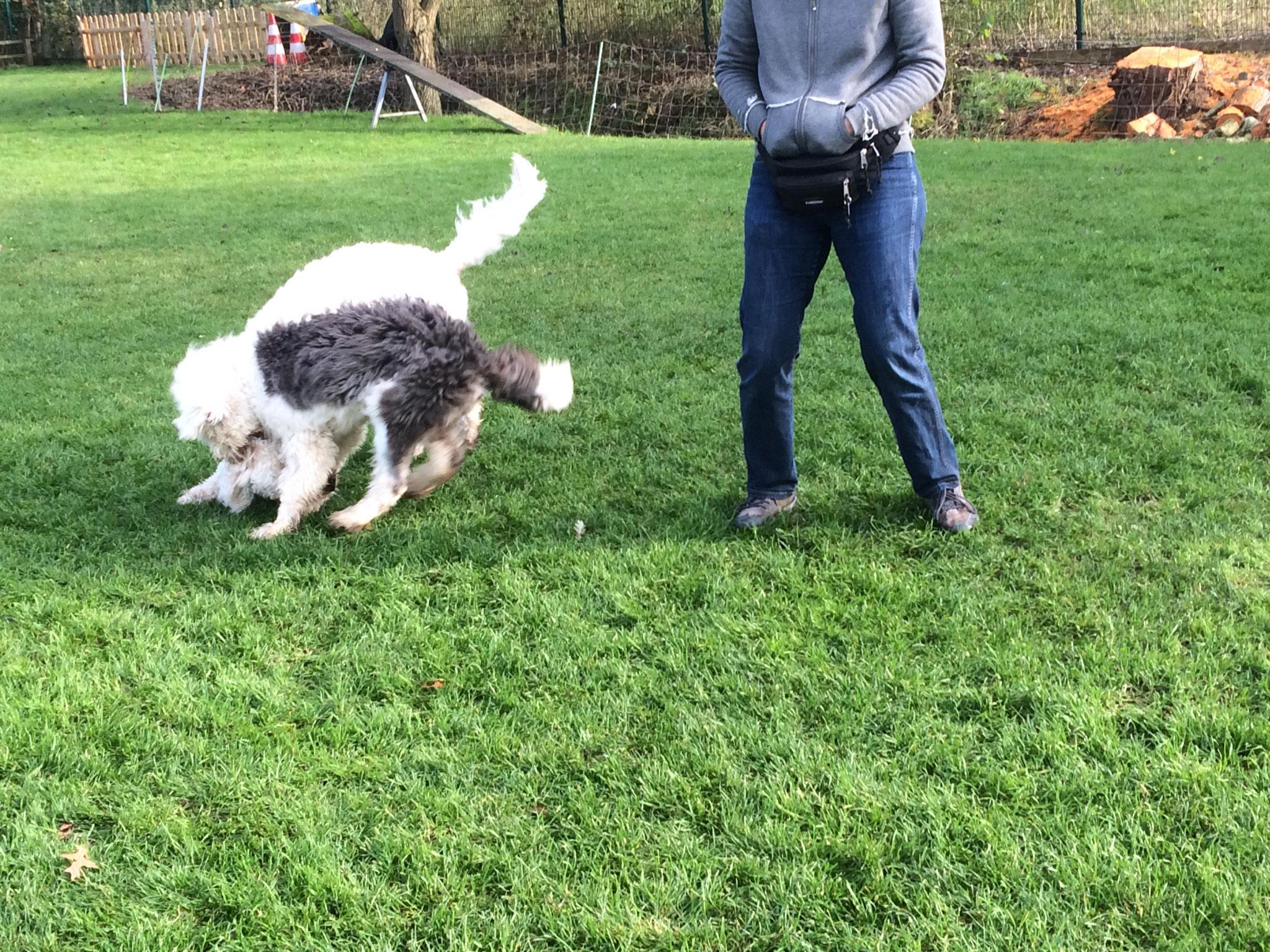 Tobende Hunde in der Spielstunde.