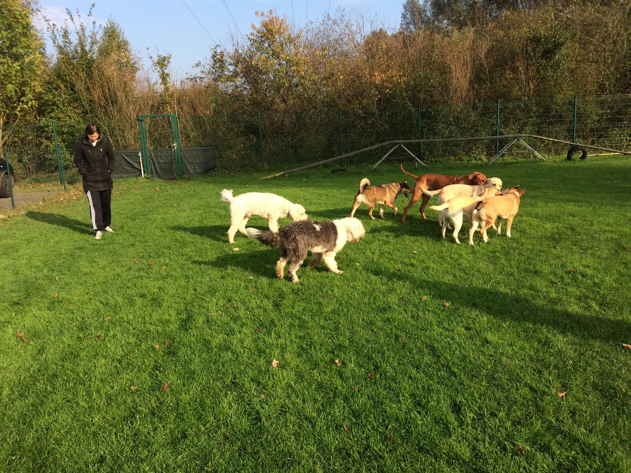 In der Spielstunde finden sich Hunde zu ausgelassenen Rennspielen.