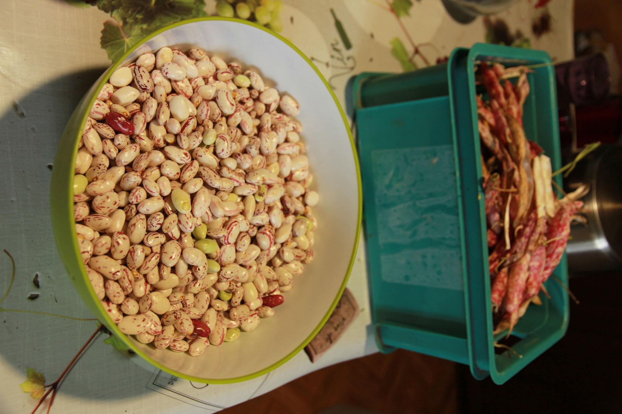 récolte haricots en grain 2019 2kg écossés