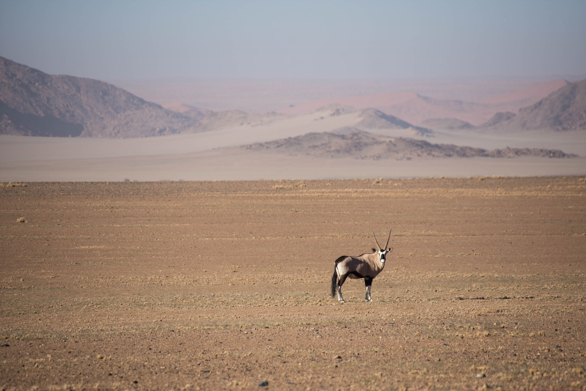 Oryx in der Namib Naukluft