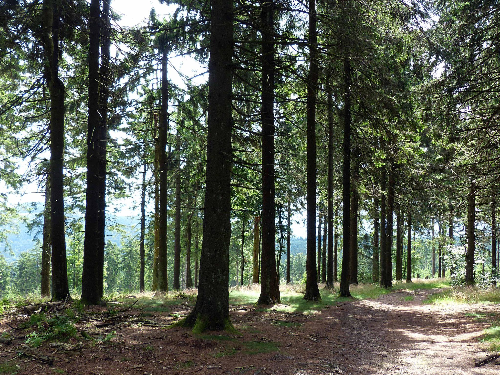 Wald am Großen Feldberg