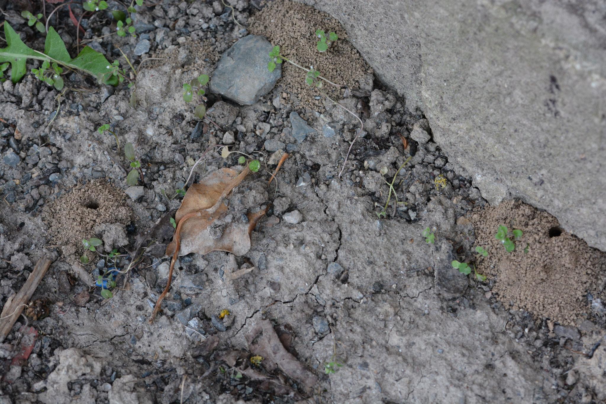 Rotpelzige Sandbiene  (Andrena fulva)