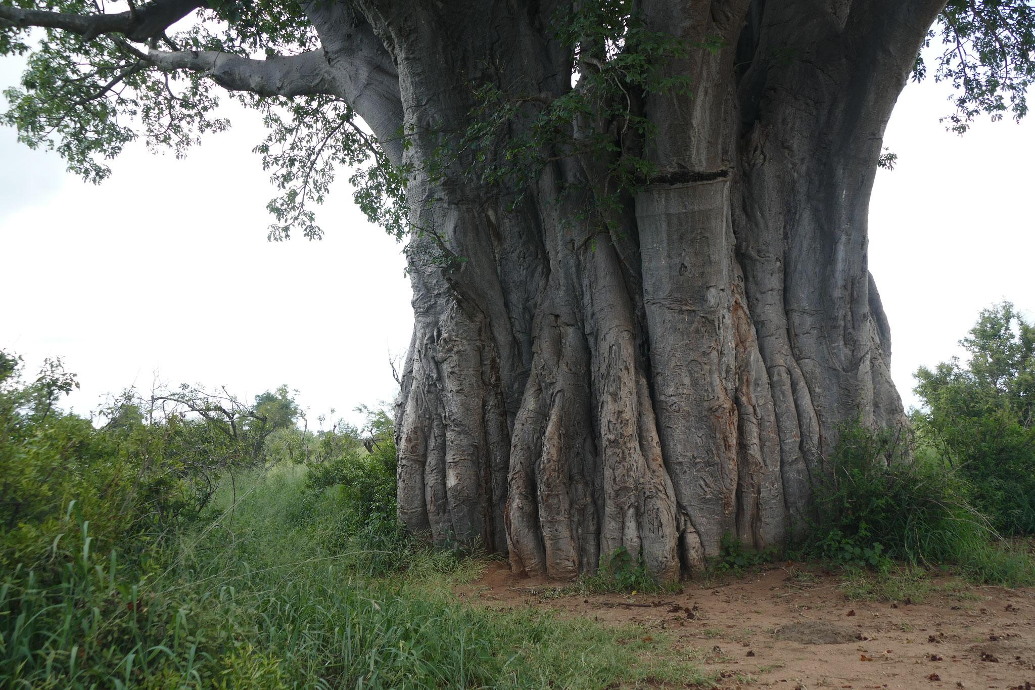 Baobab-Stamm