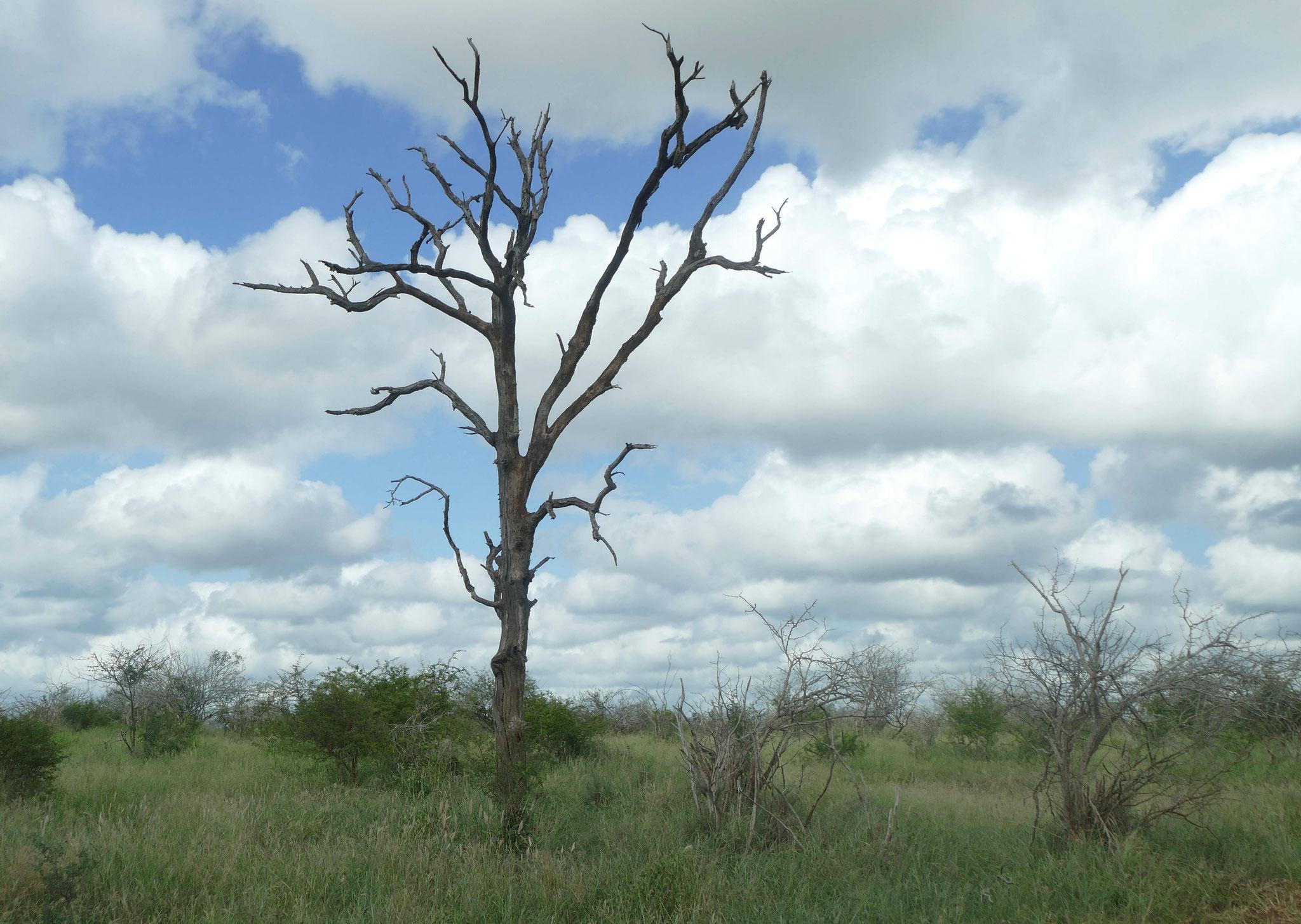 viele Bäume wurden von Elefanten entrindet und sterben dann ab