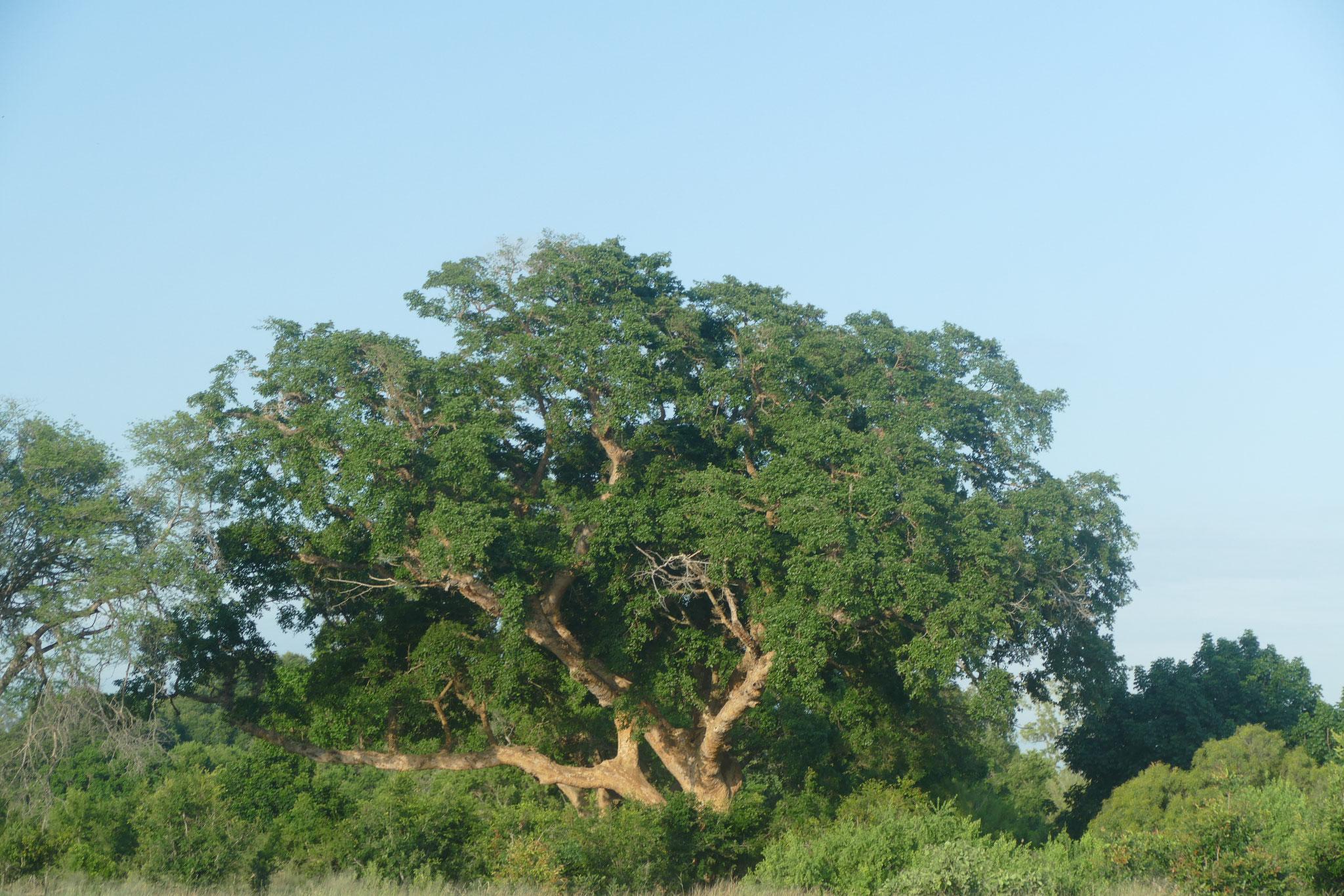 ein Mopane-Baum