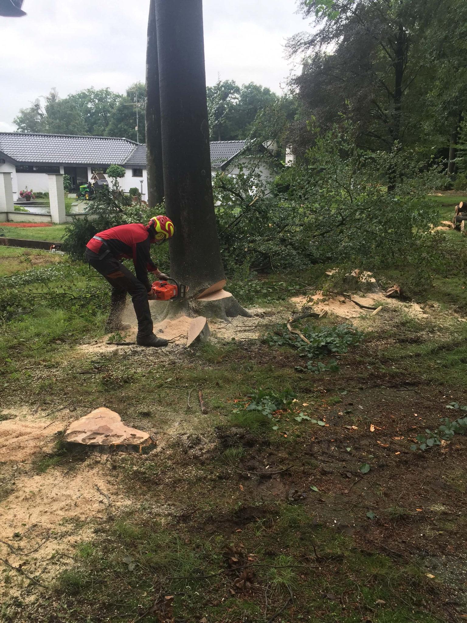 Sichere Baumfällung