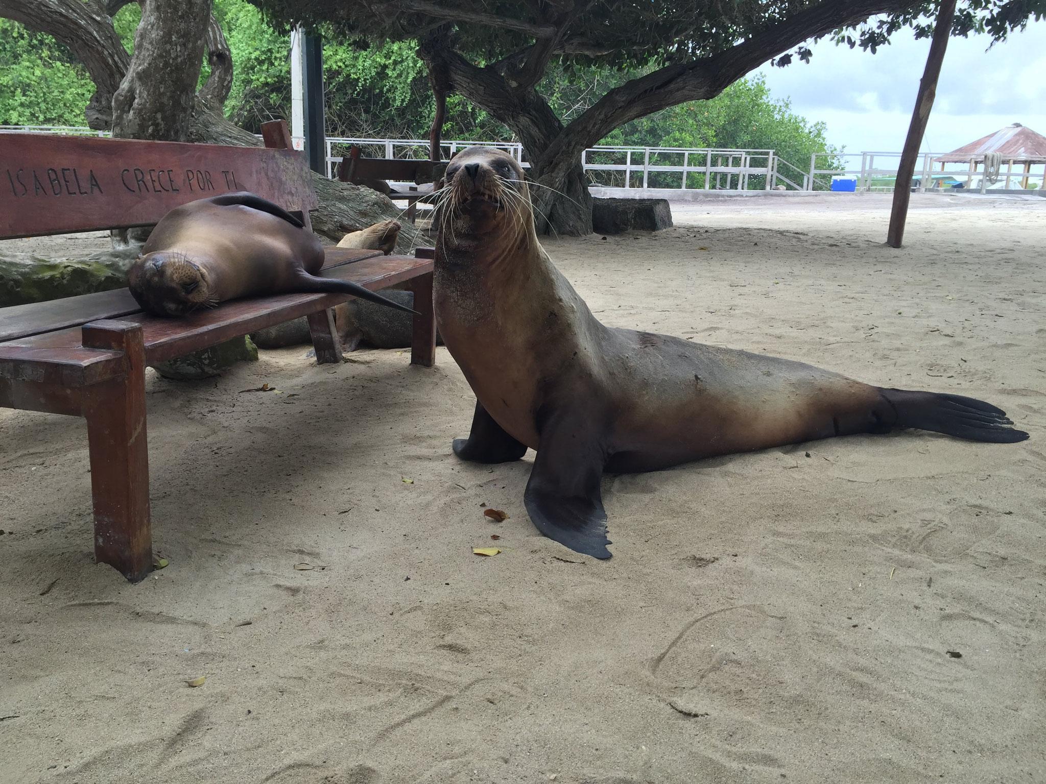 Robben auf den Galapagosinseln