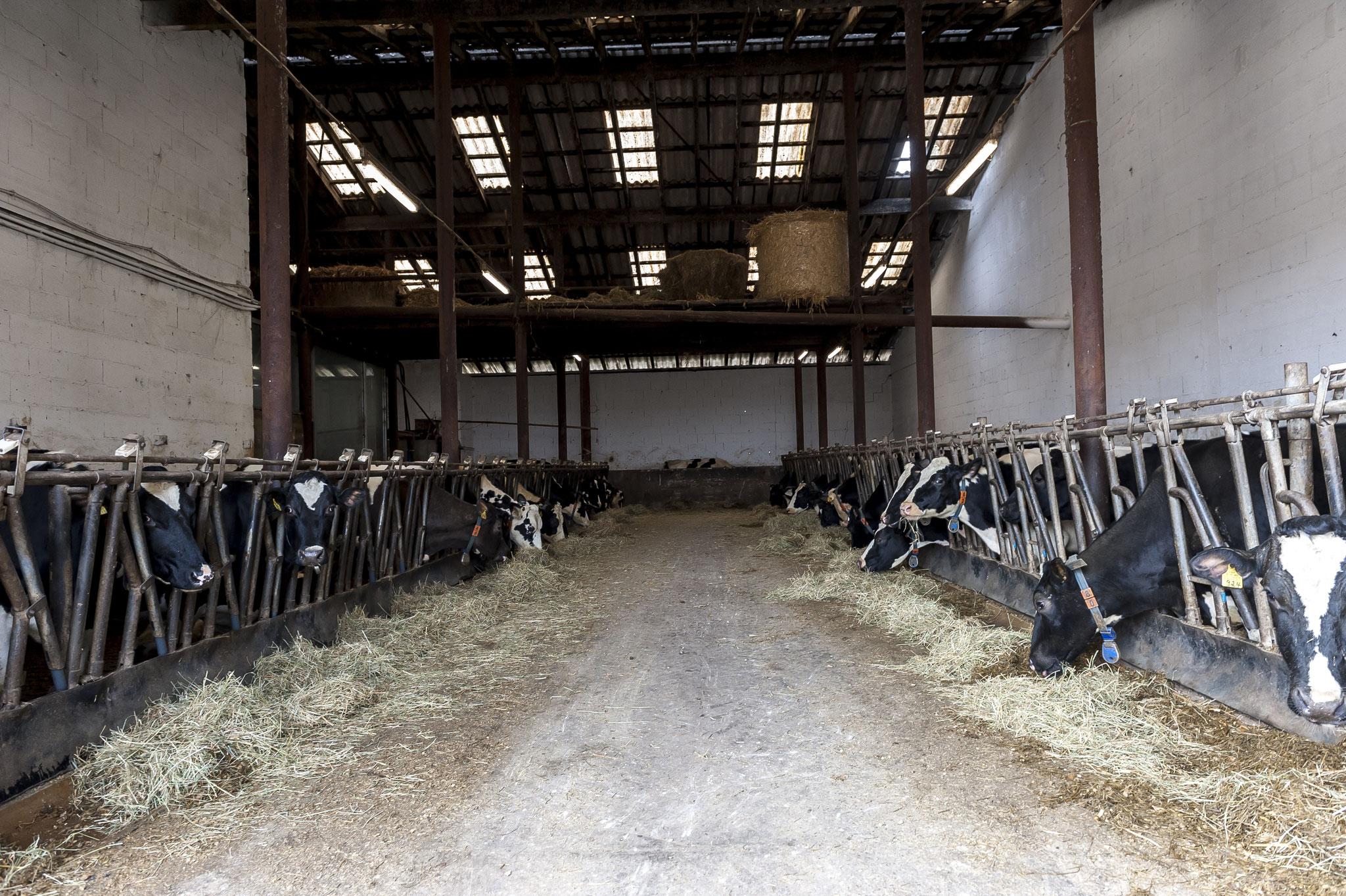 Auf unserem Futtertisch erhalten die Kühe immer frisches Futter