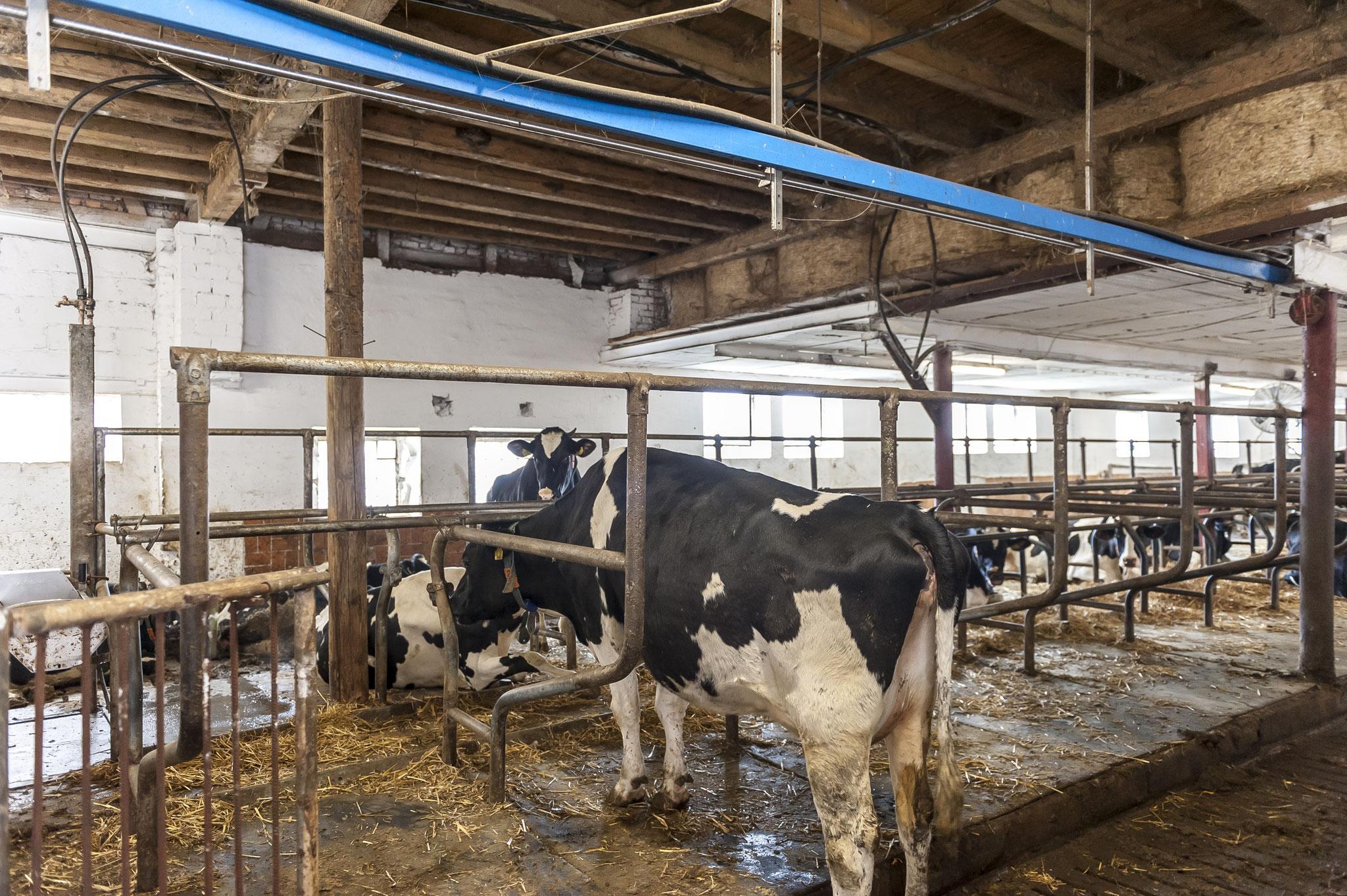 Die Kühe können wann immer sie möchten in den Liegebereich des Stalls wechseln