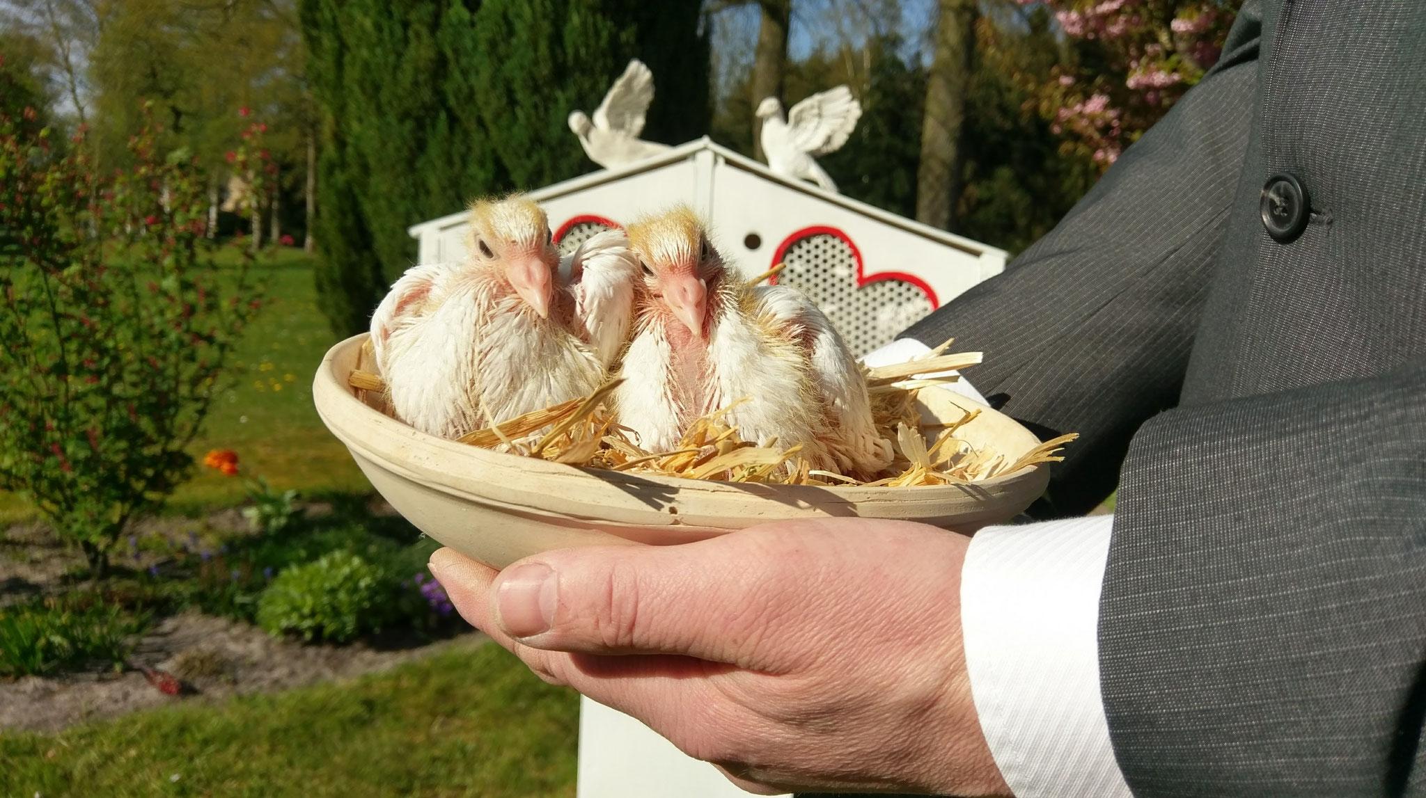 Kleine weiße Tauben, die neue Generation