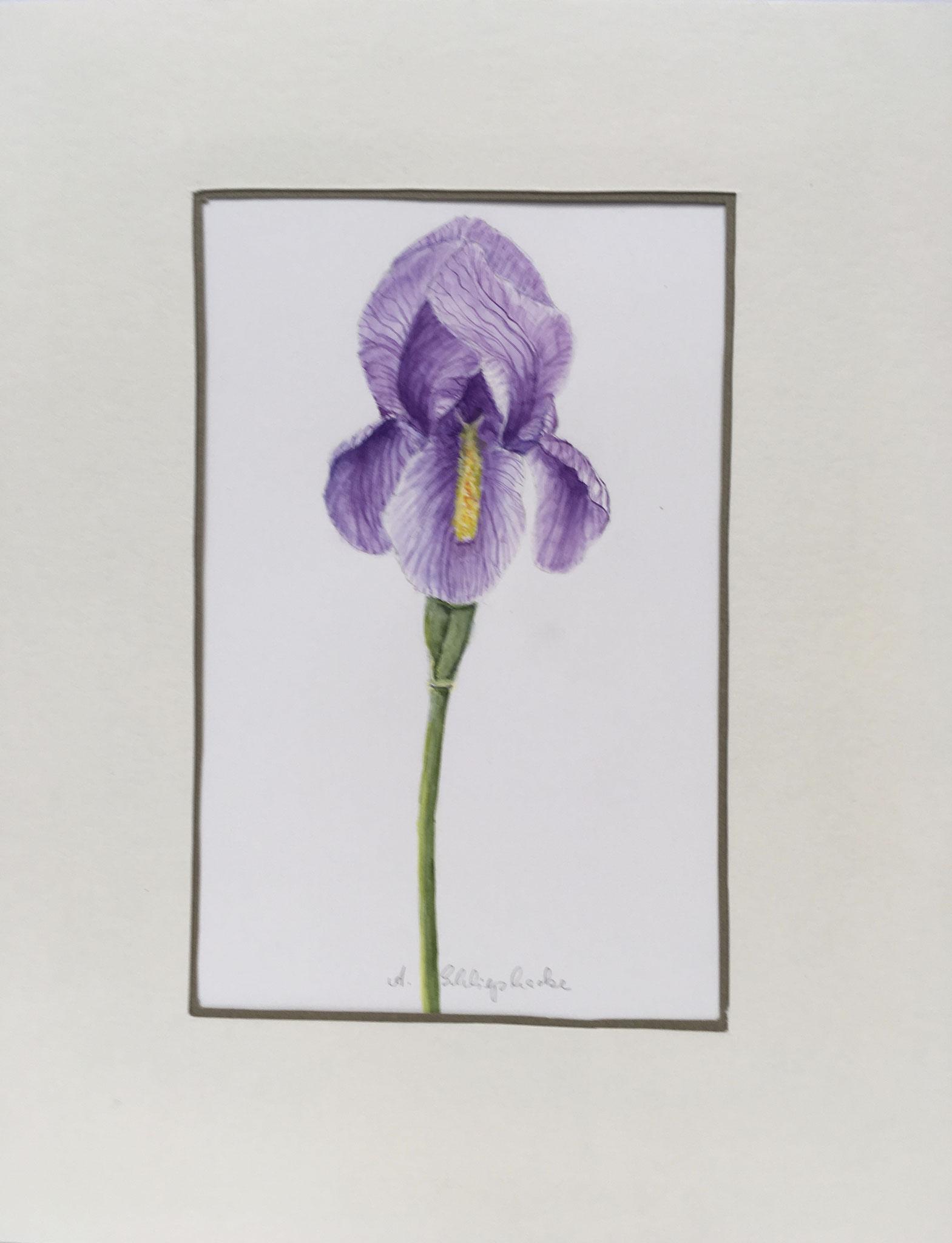 """Orig. Aquarell """"Lila Iris"""" - 30 x 30 cm - 310,- €"""