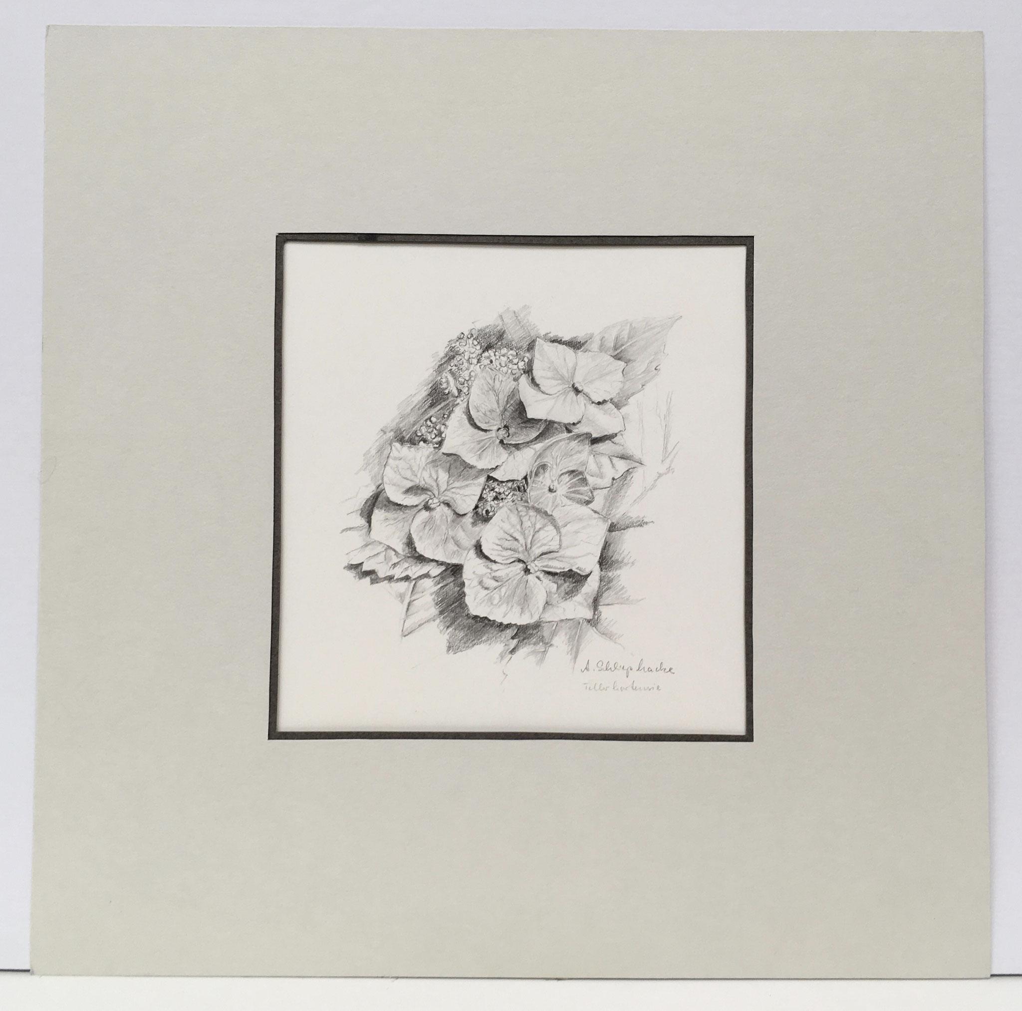 """Bleistiftzeichnung """"Tellerhortensien"""" - 30 x 30 cm - 490,- €"""