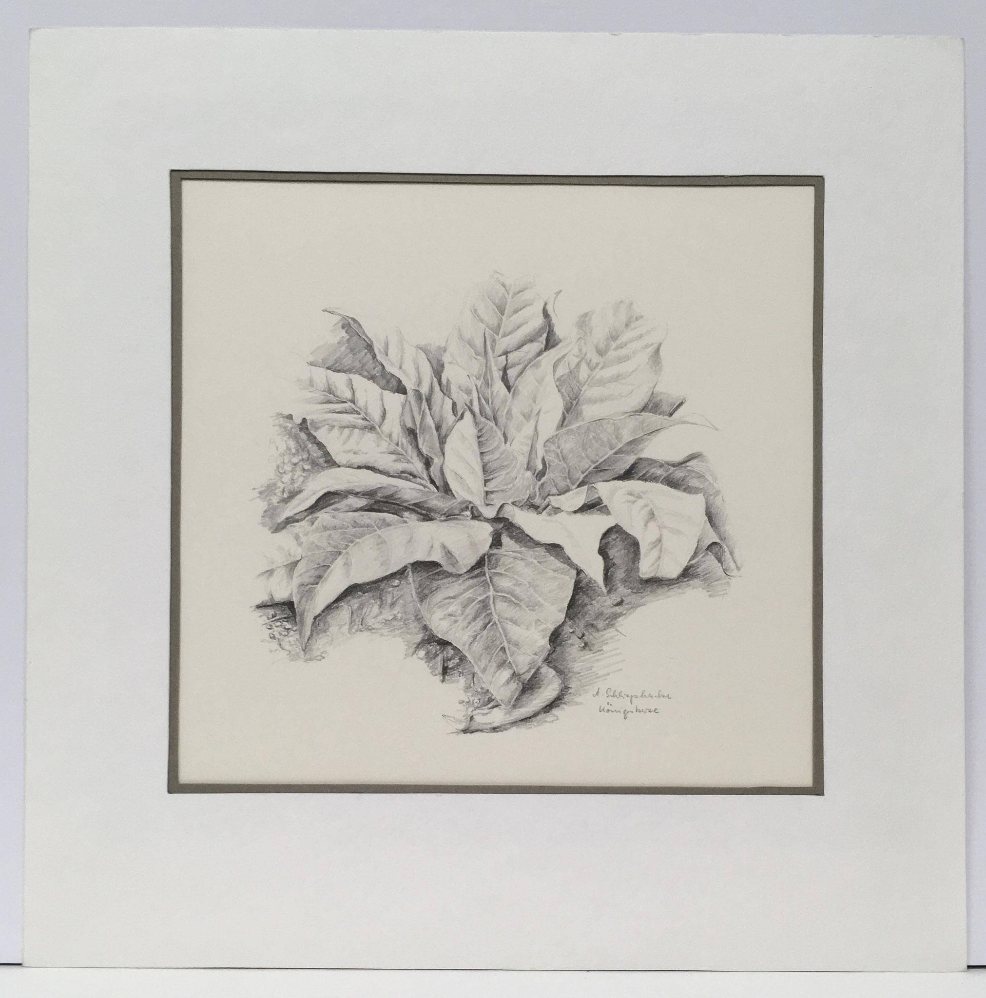 """Bleistiftzeichnung """"Königskerze"""" - 30 x 30 cm - 490,- €"""