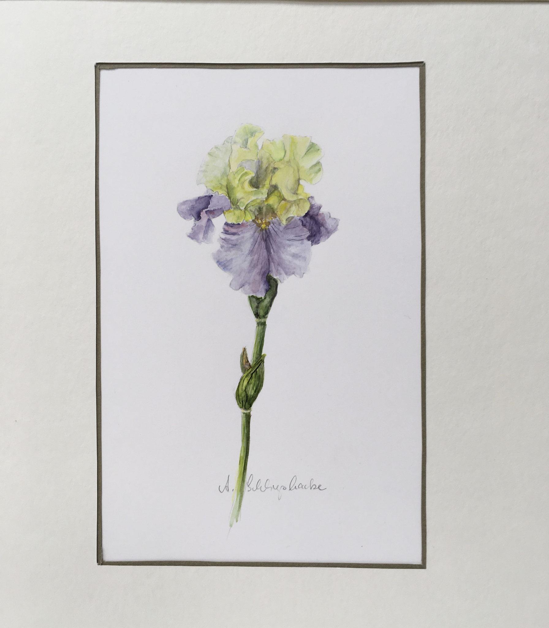 "Orig. Aquarell ""Iris gelb und lila"" - 30 x 30 cm - 310,- €"