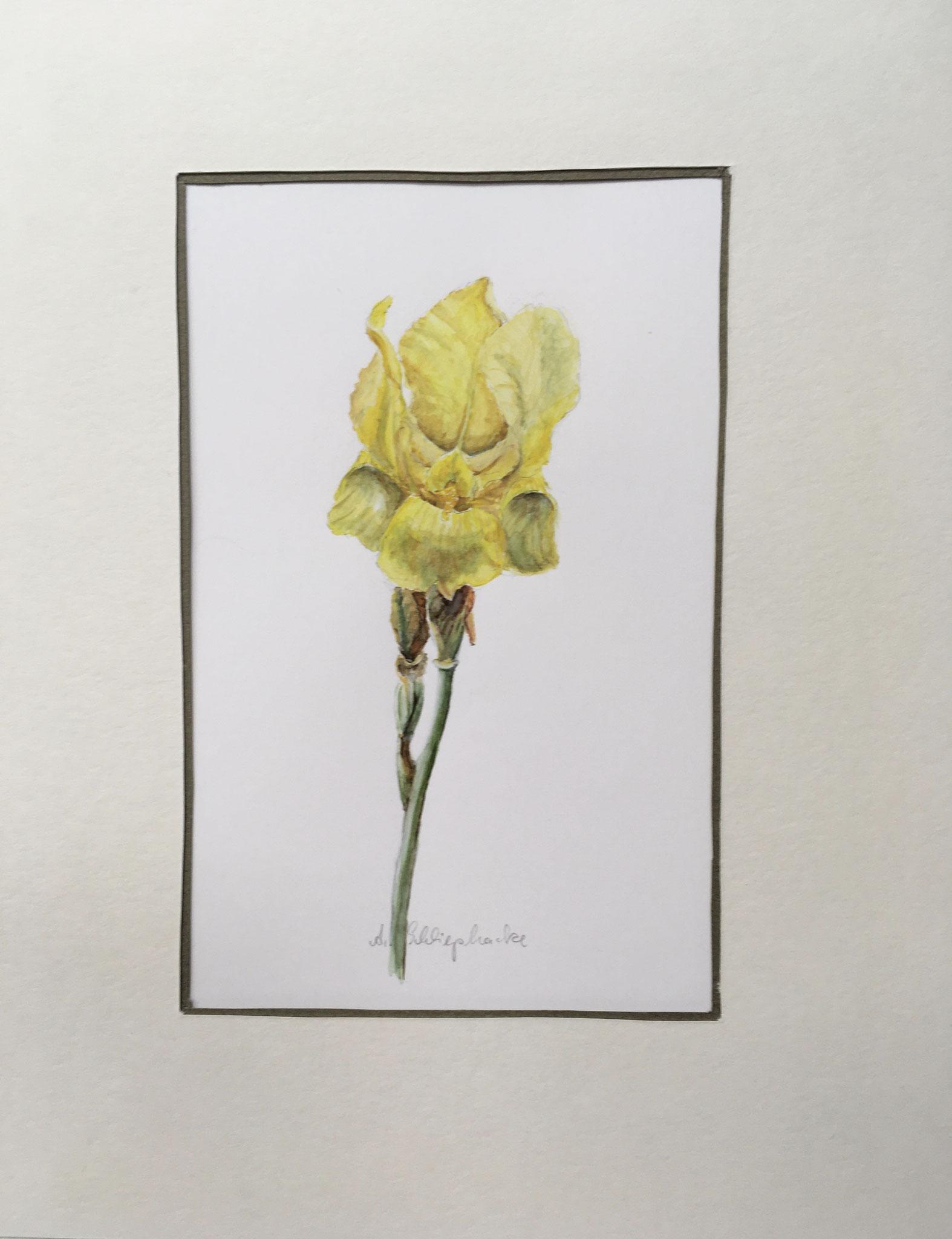 "Orig. Aquarell ""Gelbe Iris"" - 30 x 30 cm - 310,- €"