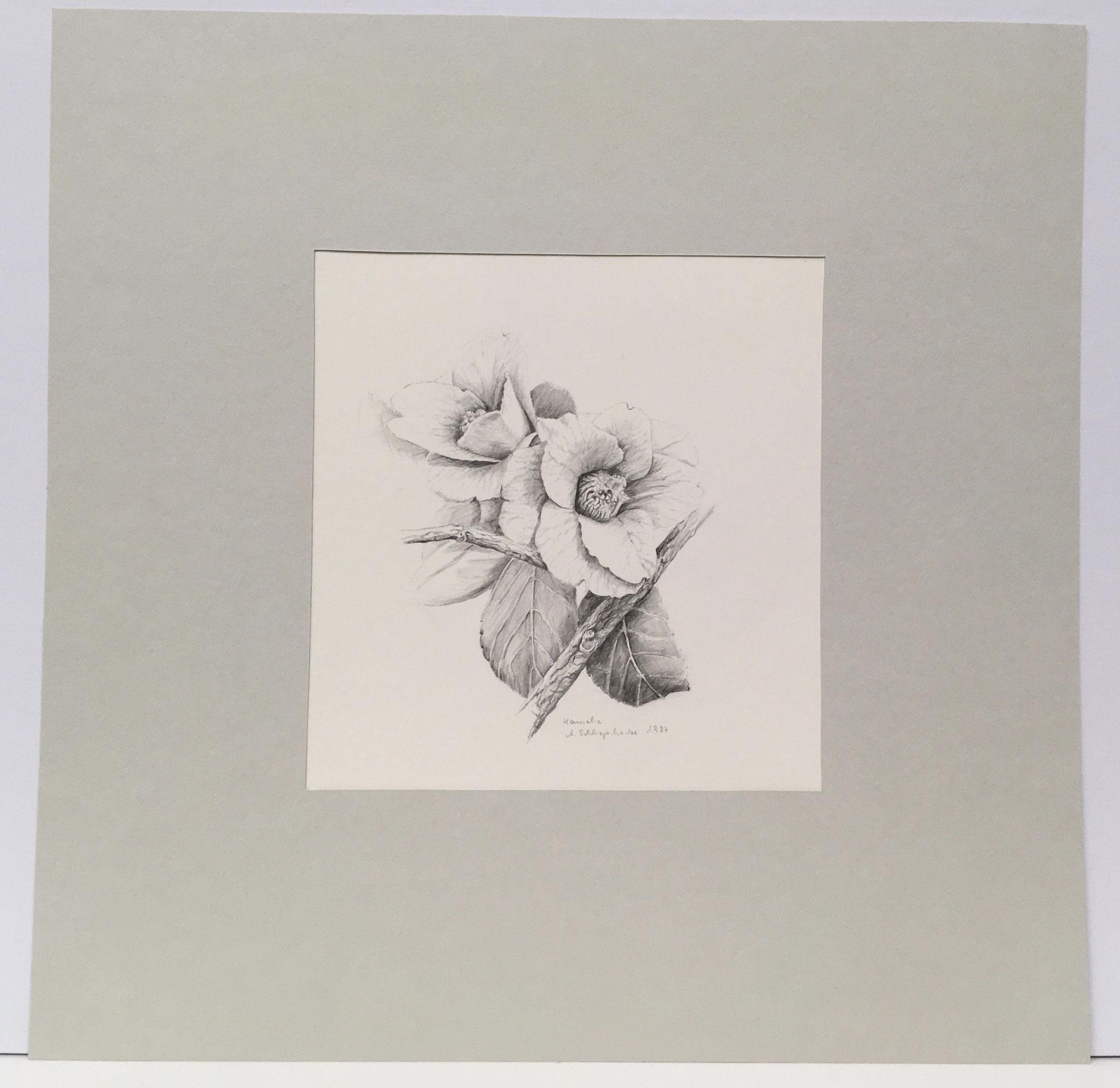 """Bleistiftzeichnung """"Kamelie"""" - 30 x 40 cm - 390,- €"""