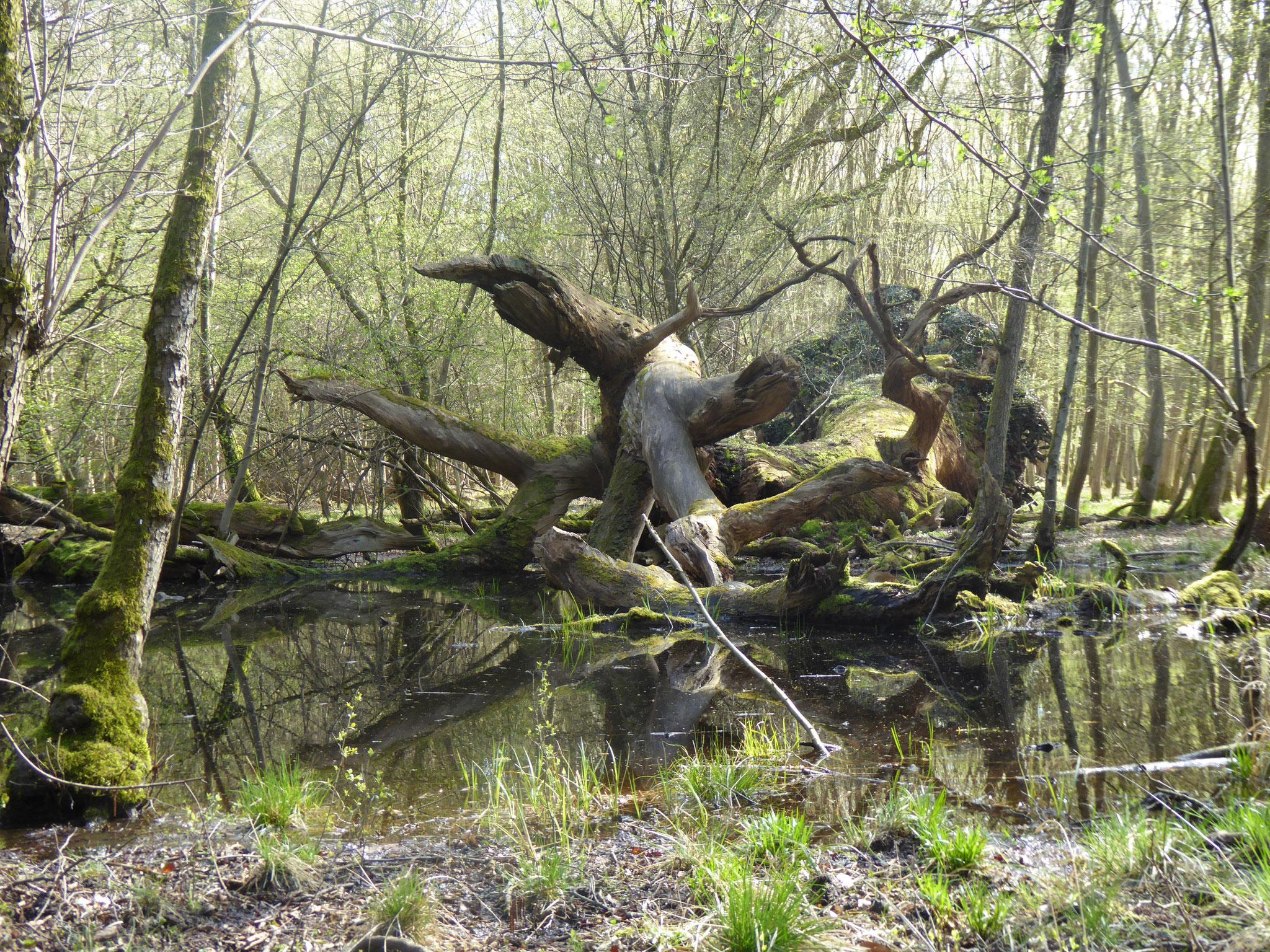 Totholz im Sauerbruch, Groß-Gerau-Nord  (Foto: NABU GG)