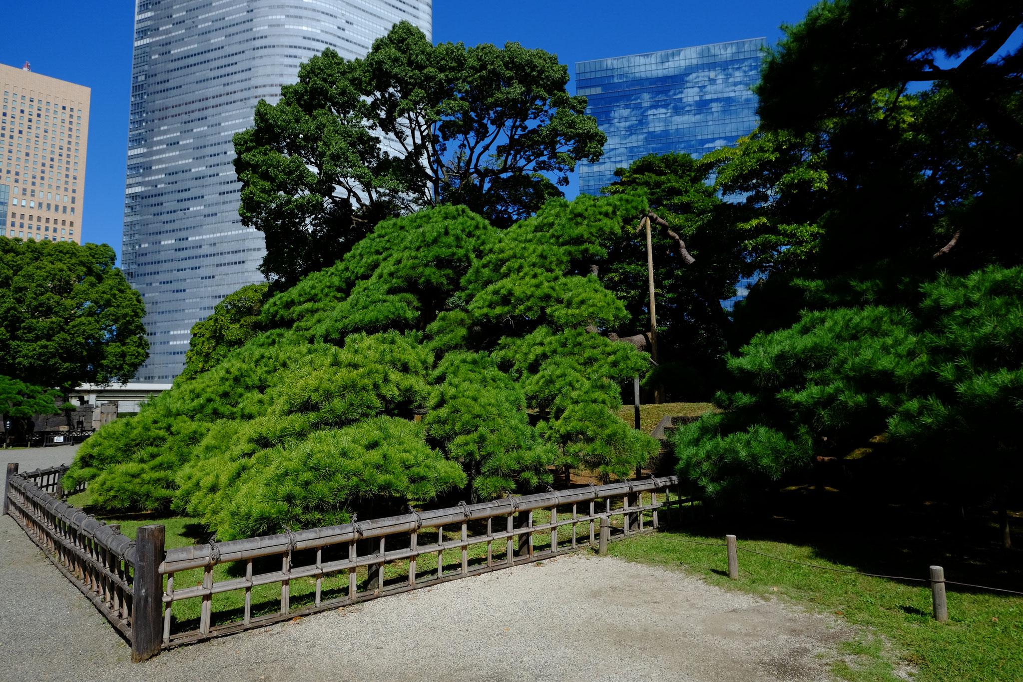 六代将軍 徳川家宣が植えたとされる都内最大の黒松。樹齢約300年。