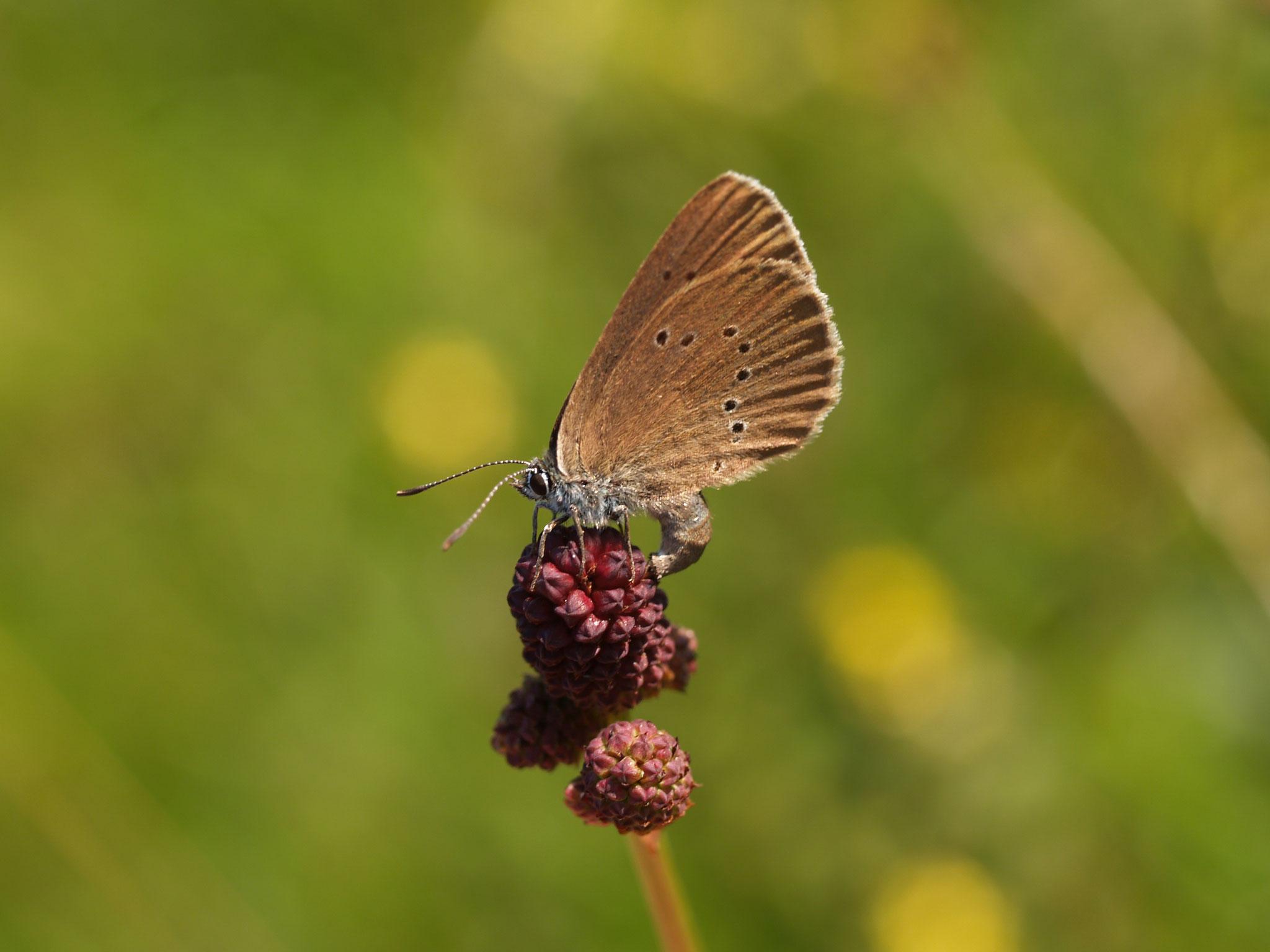 ...und Feuchtwiesen im Grund für den Dunklen Wiesenknopf-Ameisenbläuling. (c) Petra Altrichter
