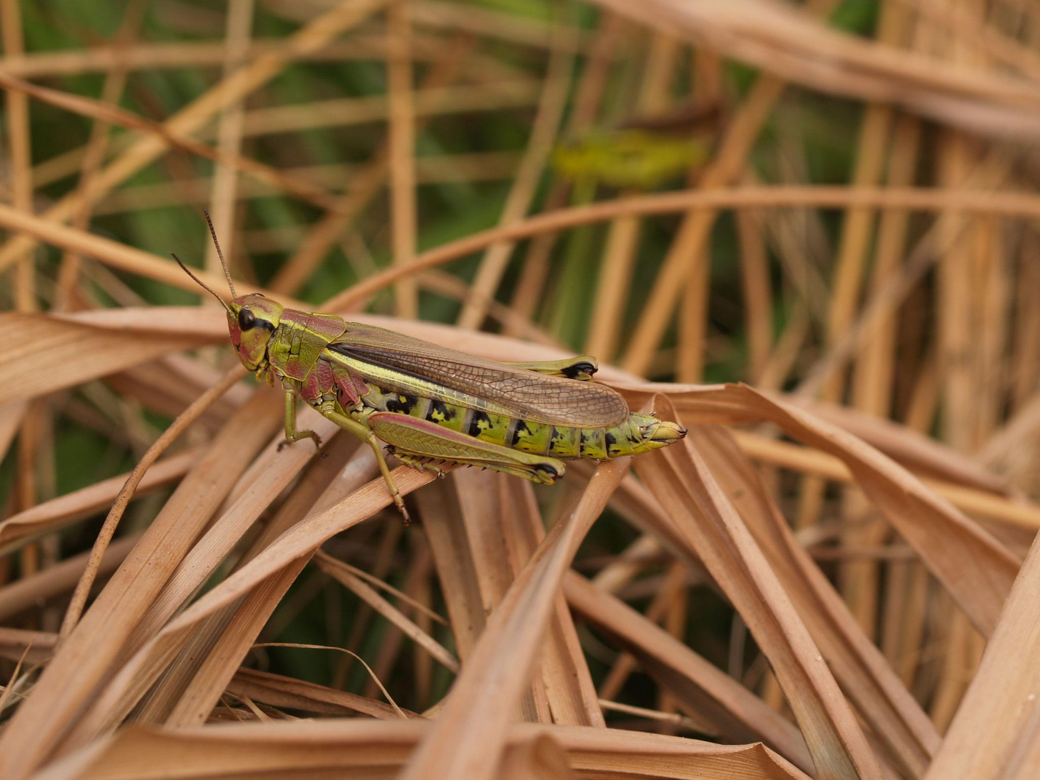 ...sondern auch für Insekten wie diese Sumpfschrecke. (c) Petra Altrichter