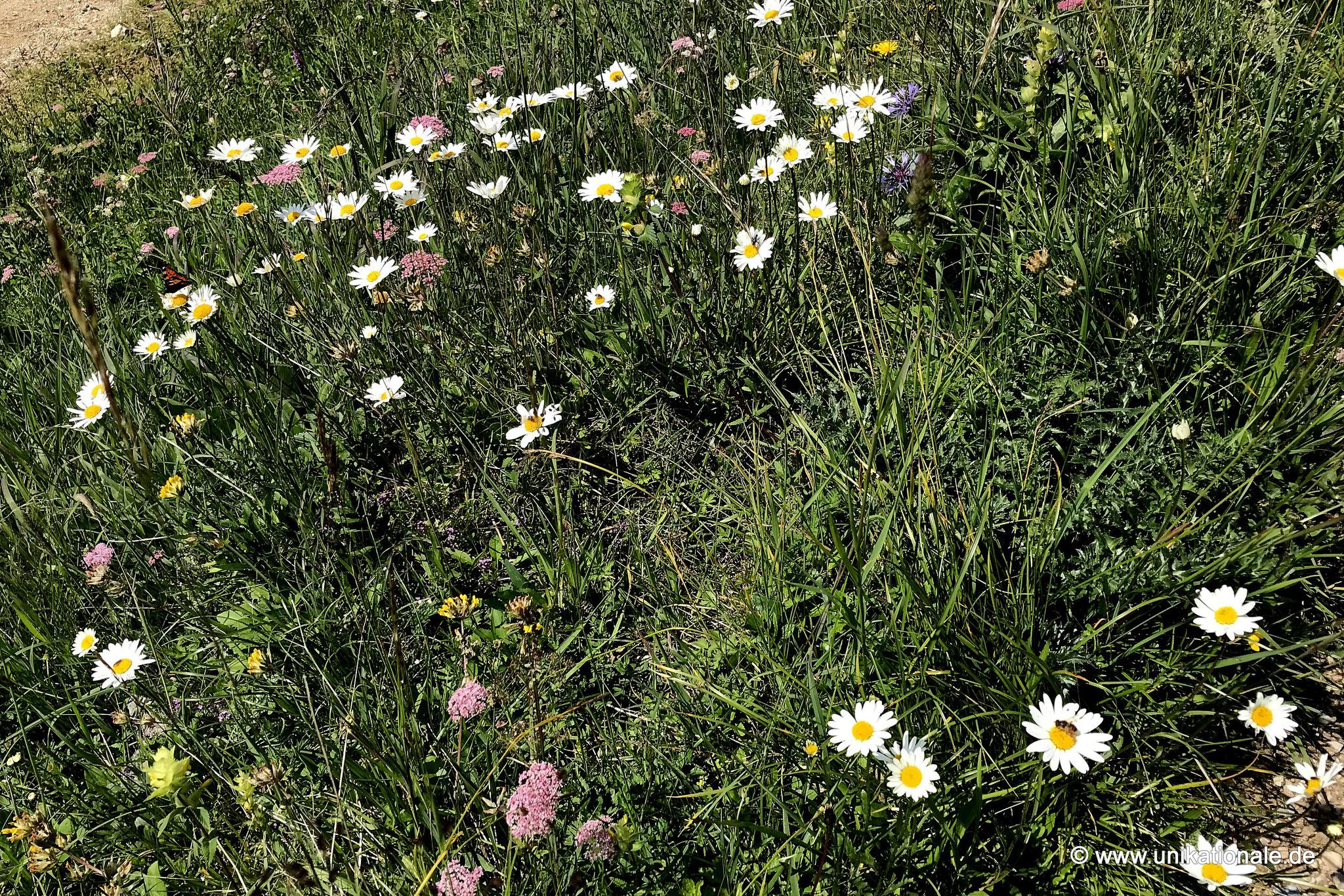 Wiesenblumen auf dem Tegelberg