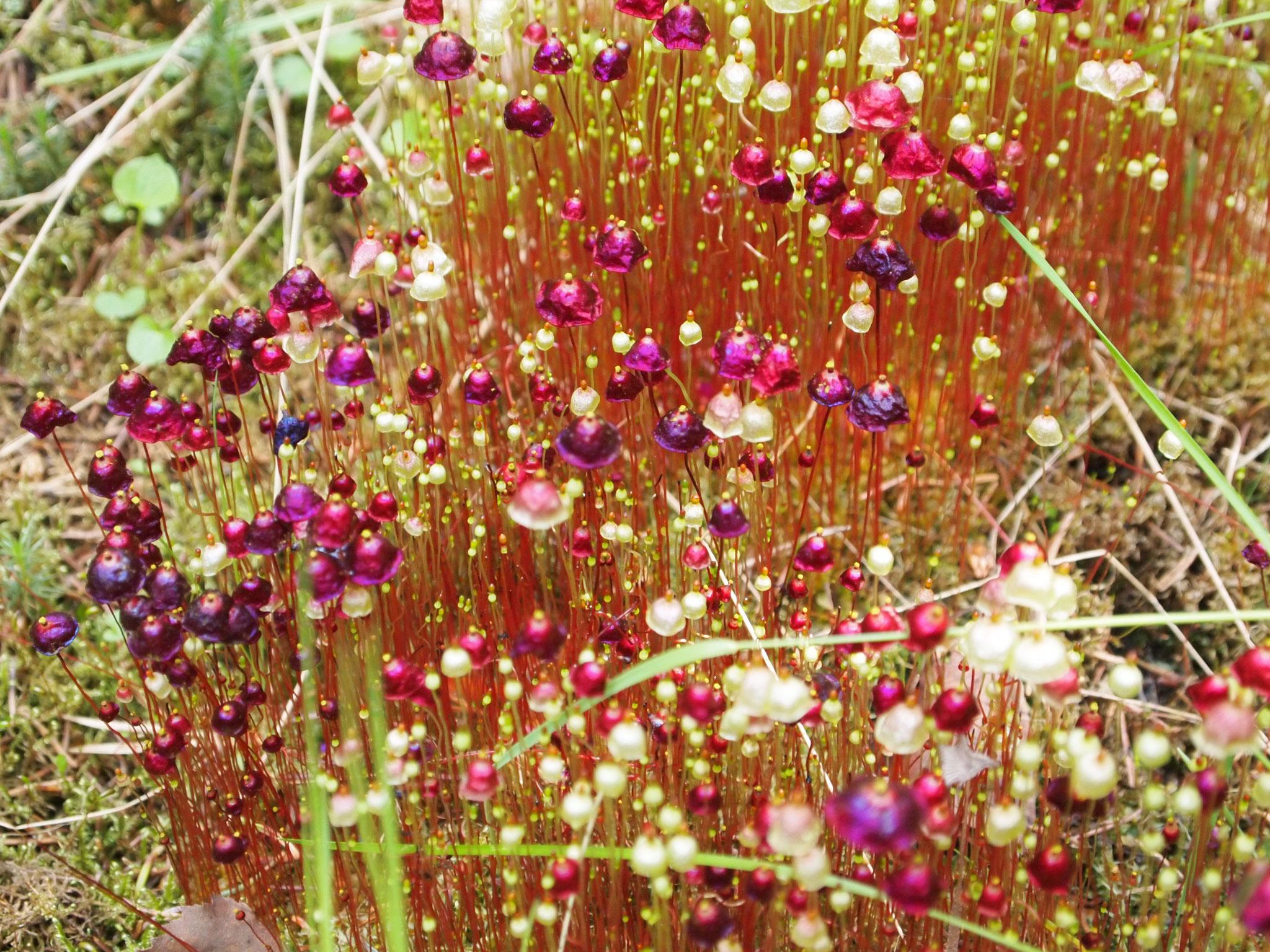 moss blommor