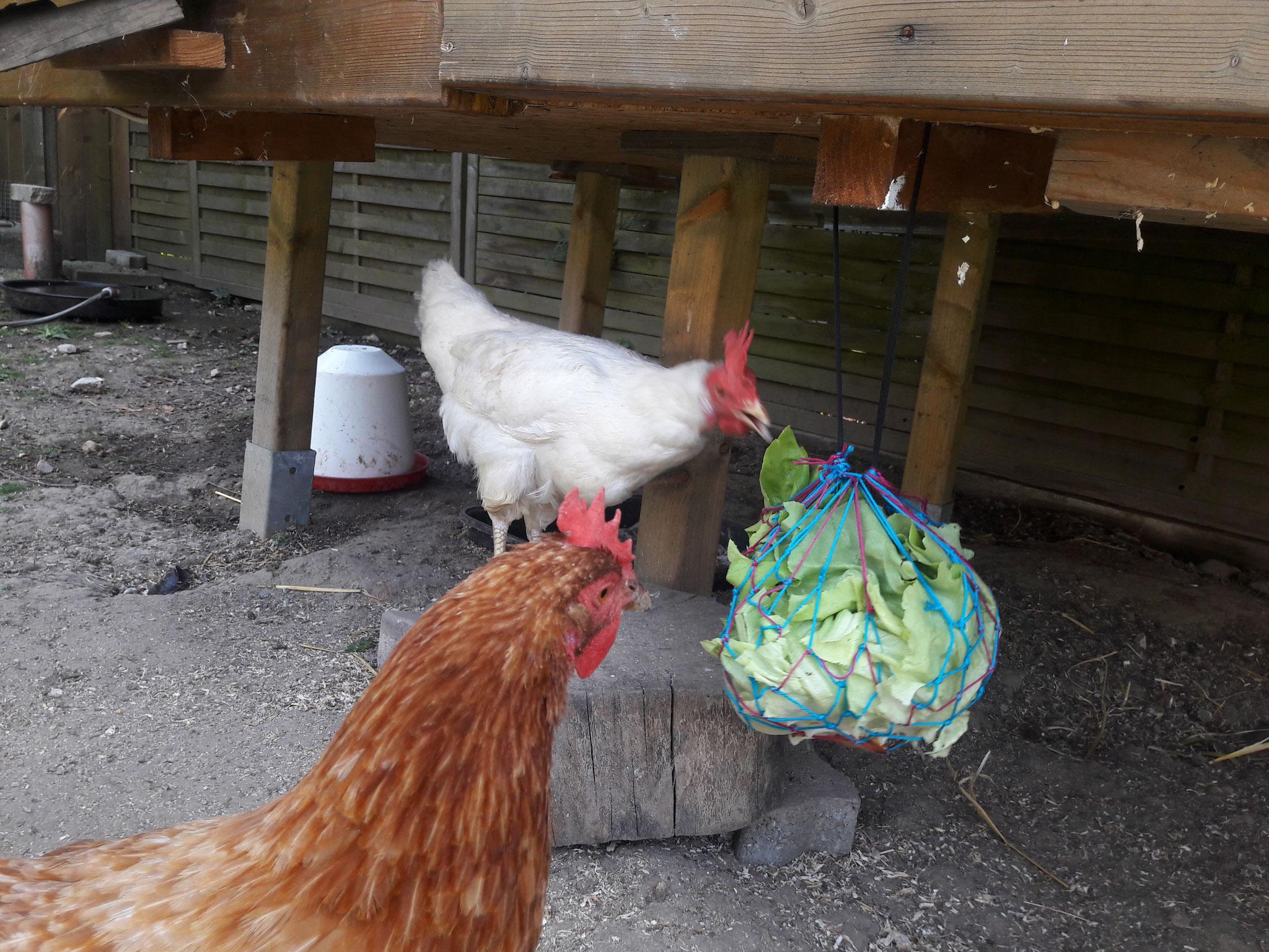 Hühnerbeschäftigung