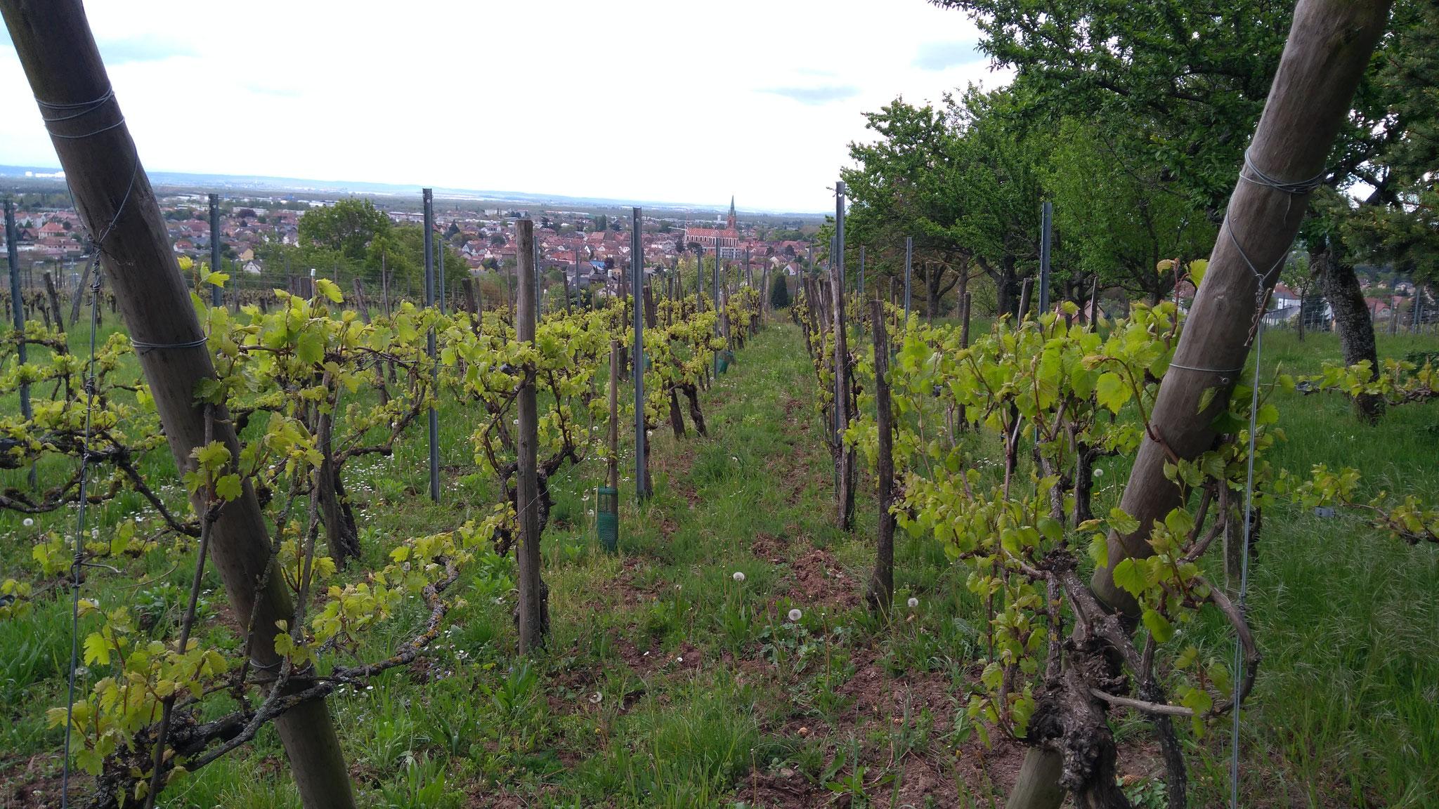 Les vignes et Cernay en arrière plan