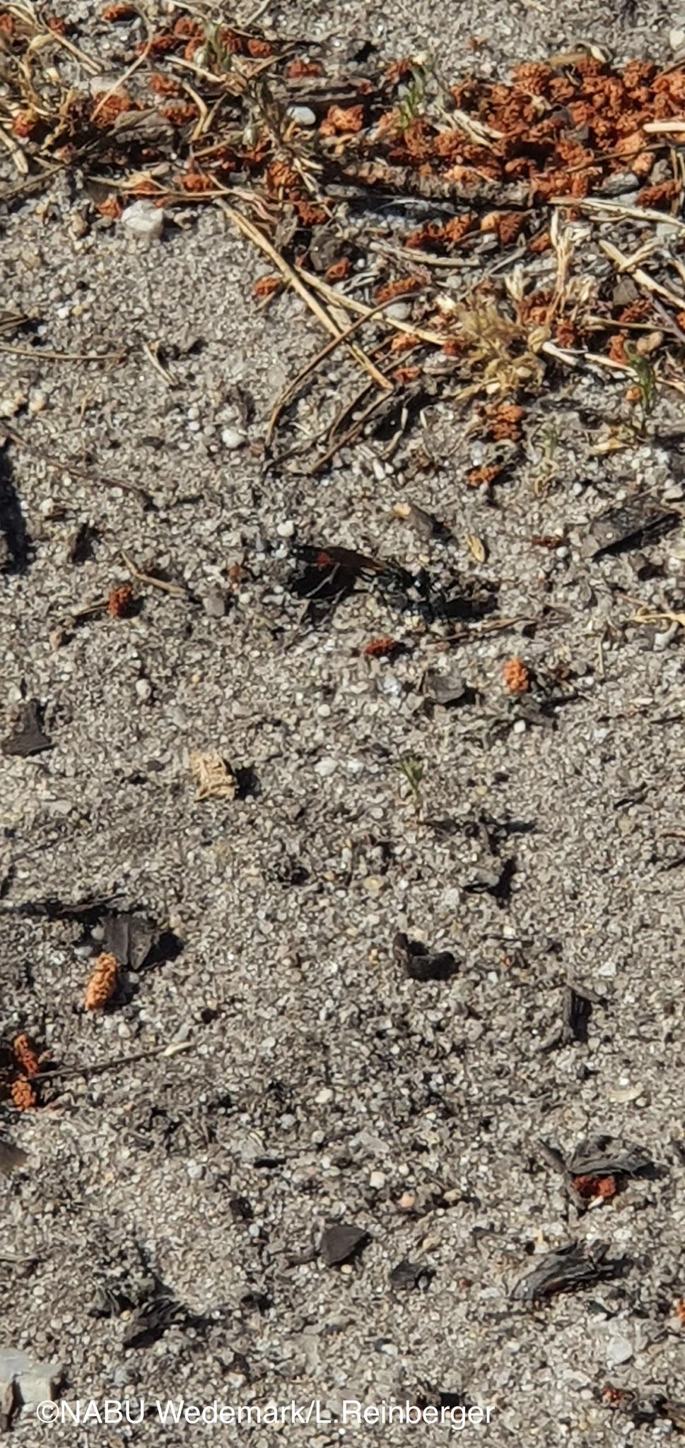 Wer findet die Sandwespe? Foto:NABU/L.Reinberger