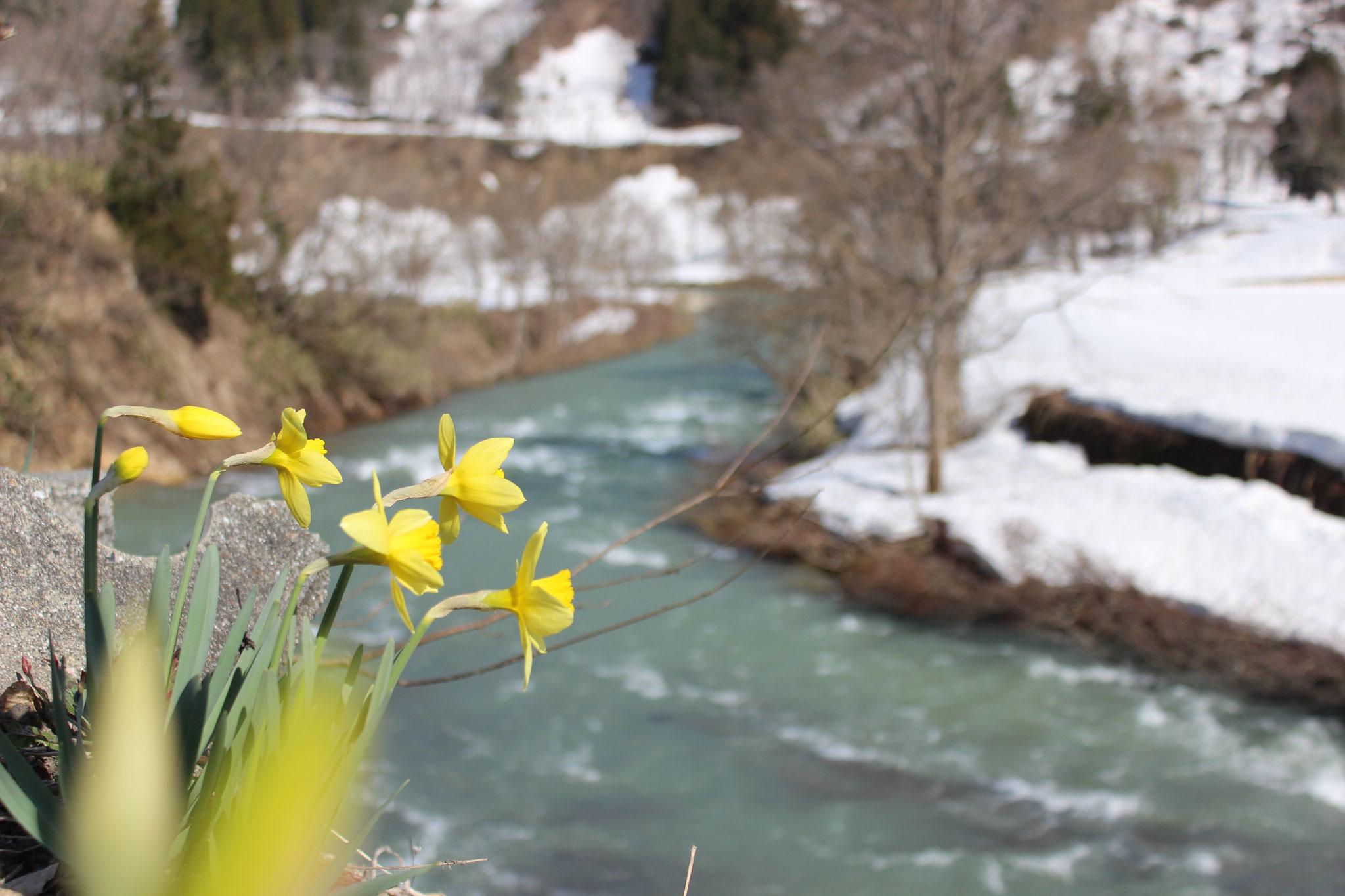 4月 水仙と雪解けの白川(上原)