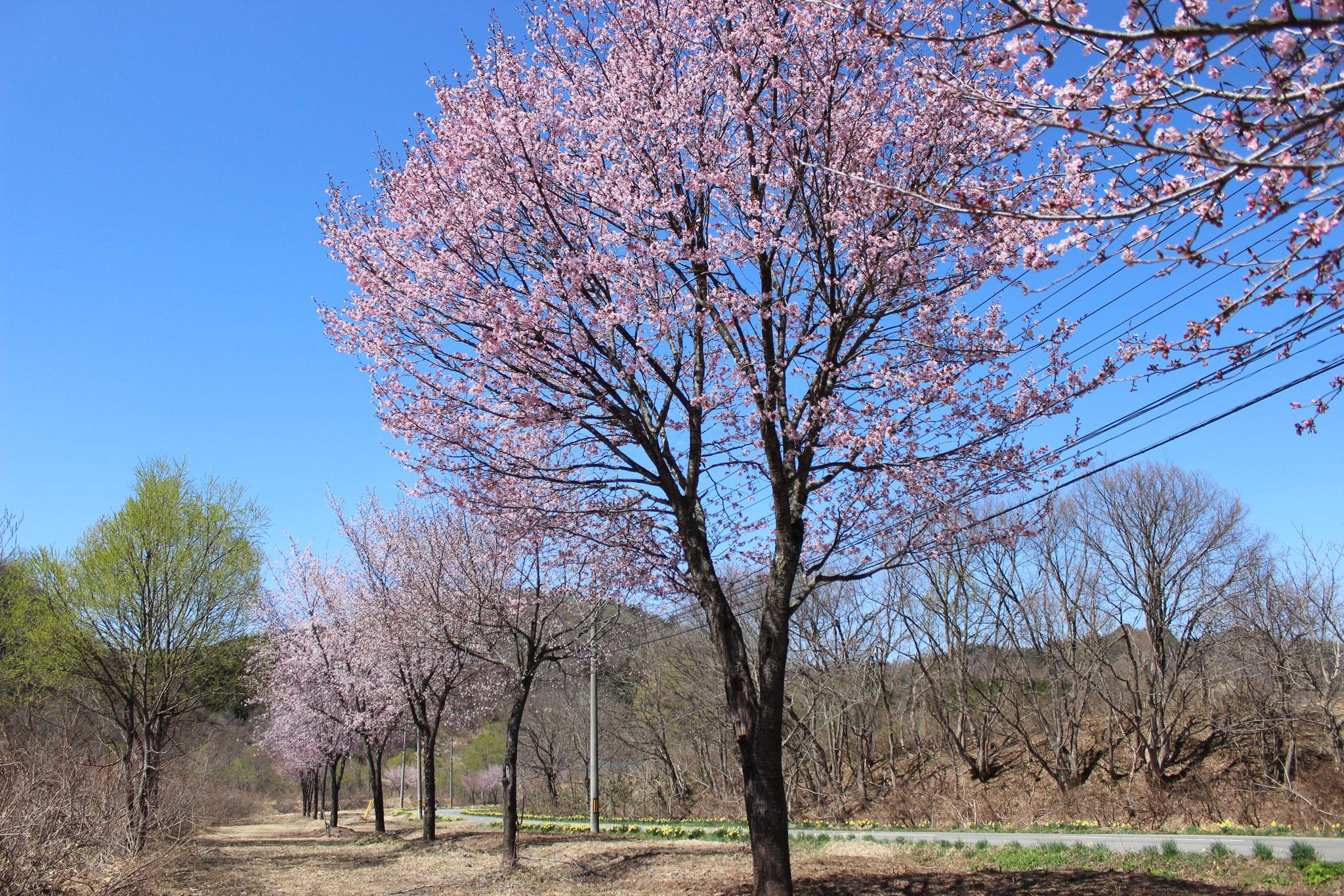 4月 桜並木(上原)